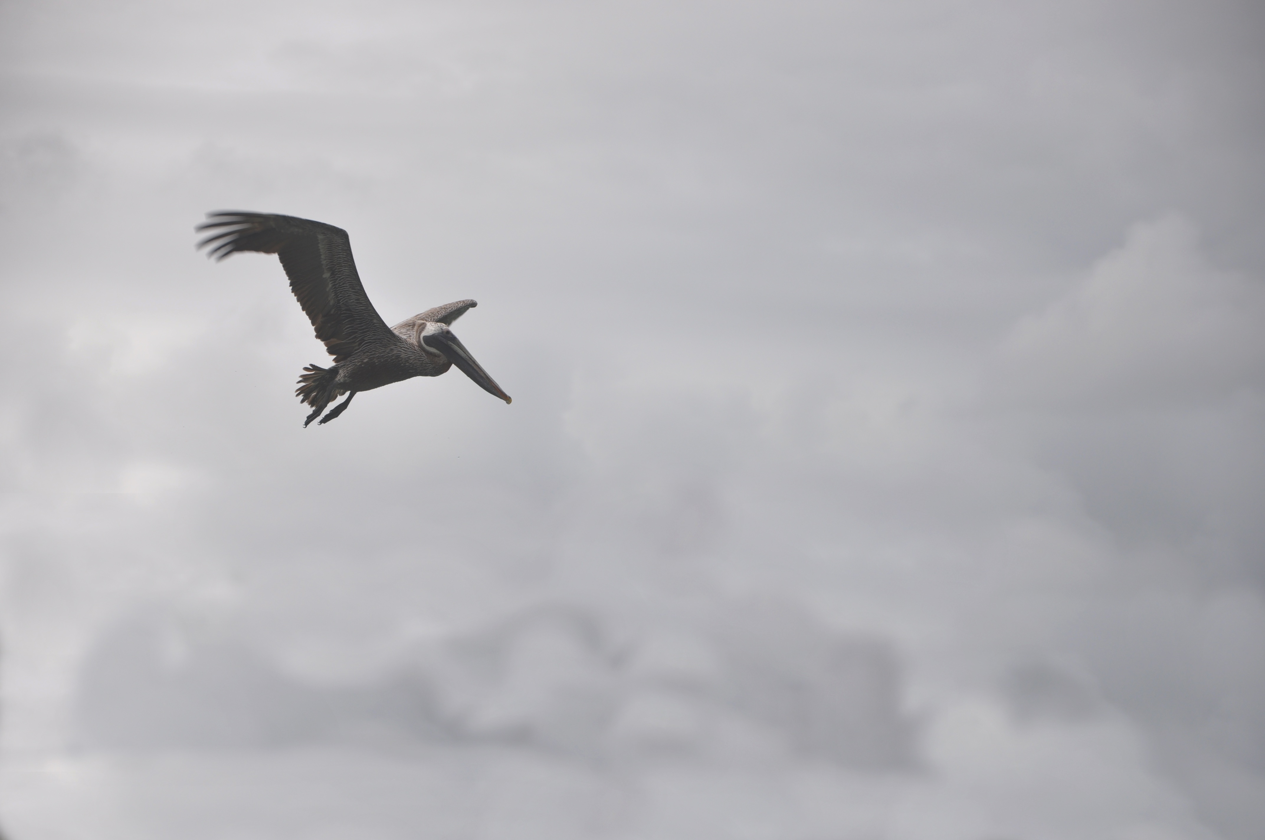 66015 download wallpaper Animals, Pelican, Bird, Flight, Clouds screensavers and pictures for free