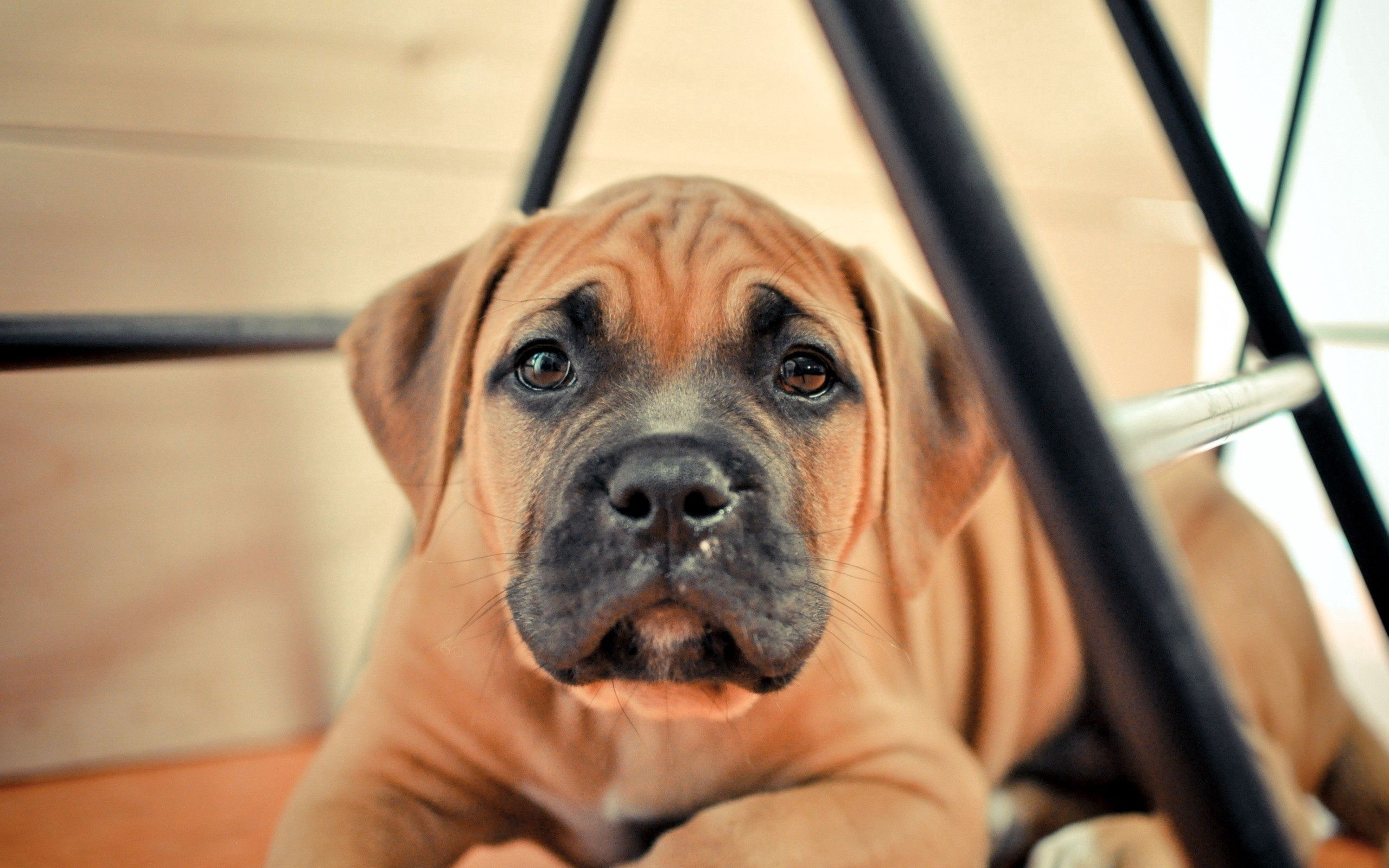 104029 Screensavers and Wallpapers Puppy for phone. Download Animals, Dog, Muzzle, Puppy, Thoroughbred pictures for free