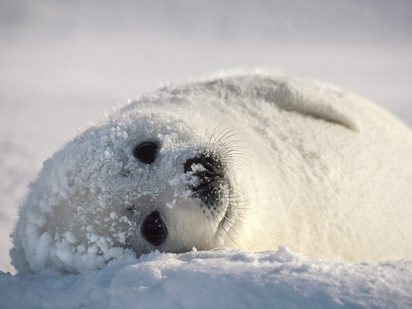 7485 download wallpaper Animals, Snow, Seals screensavers and pictures for free