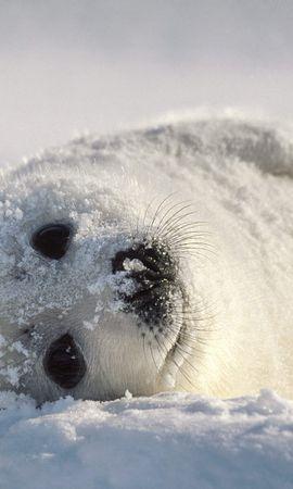 7485 скачать обои Животные, Снег, Тюлени - заставки и картинки бесплатно