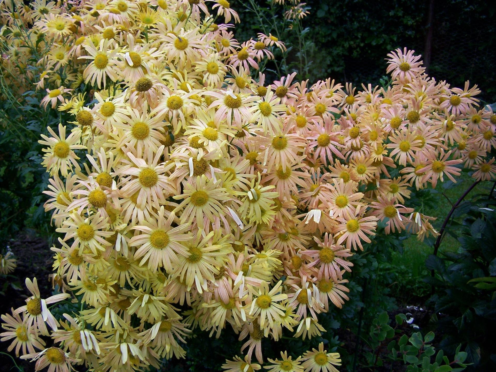 136528 скачать обои Цветы, Сад, Зелень, Много, Хризантемы - заставки и картинки бесплатно