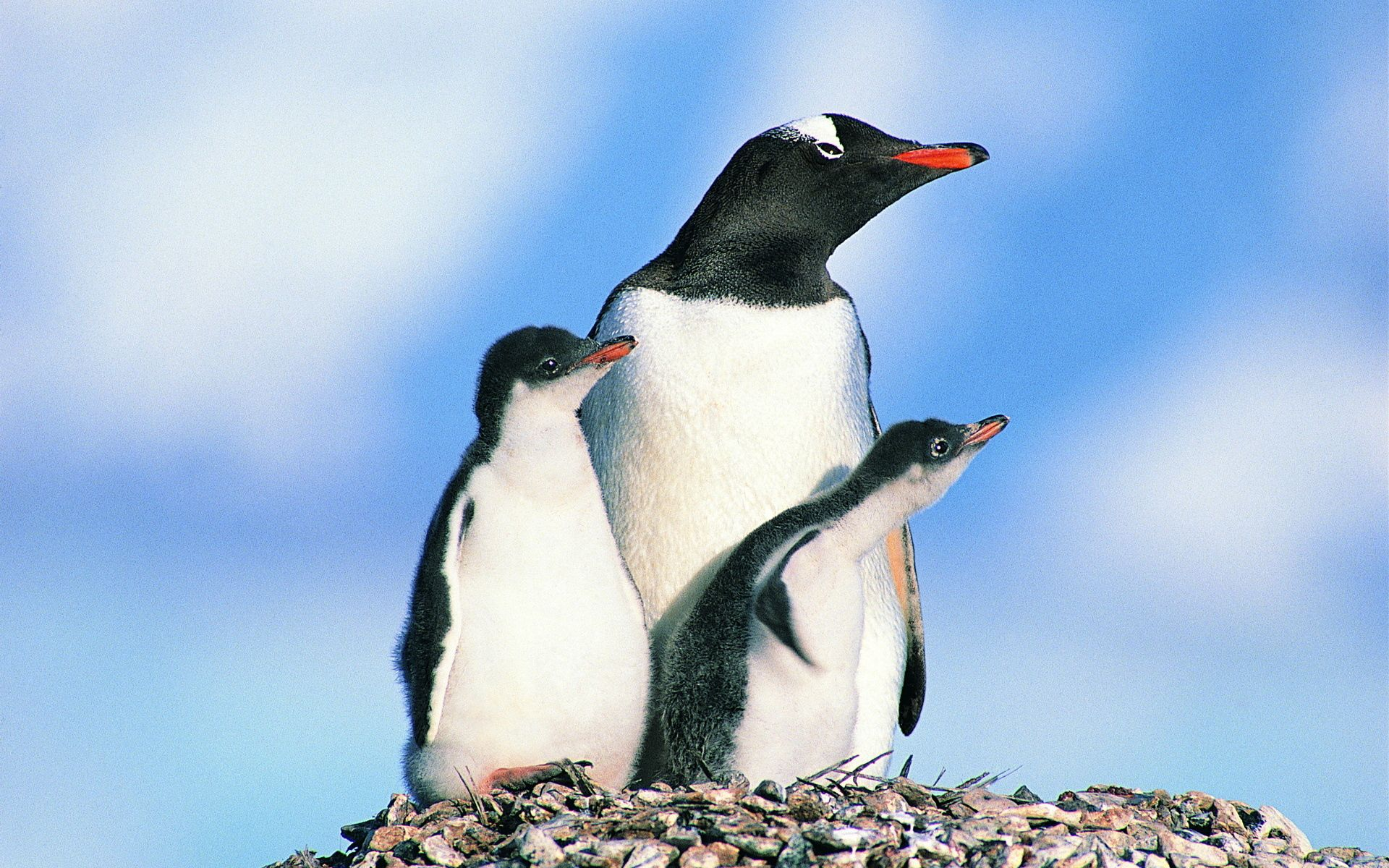 70787 download wallpaper Animals, Birds, Pinguins, Stones, Penguin Family screensavers and pictures for free