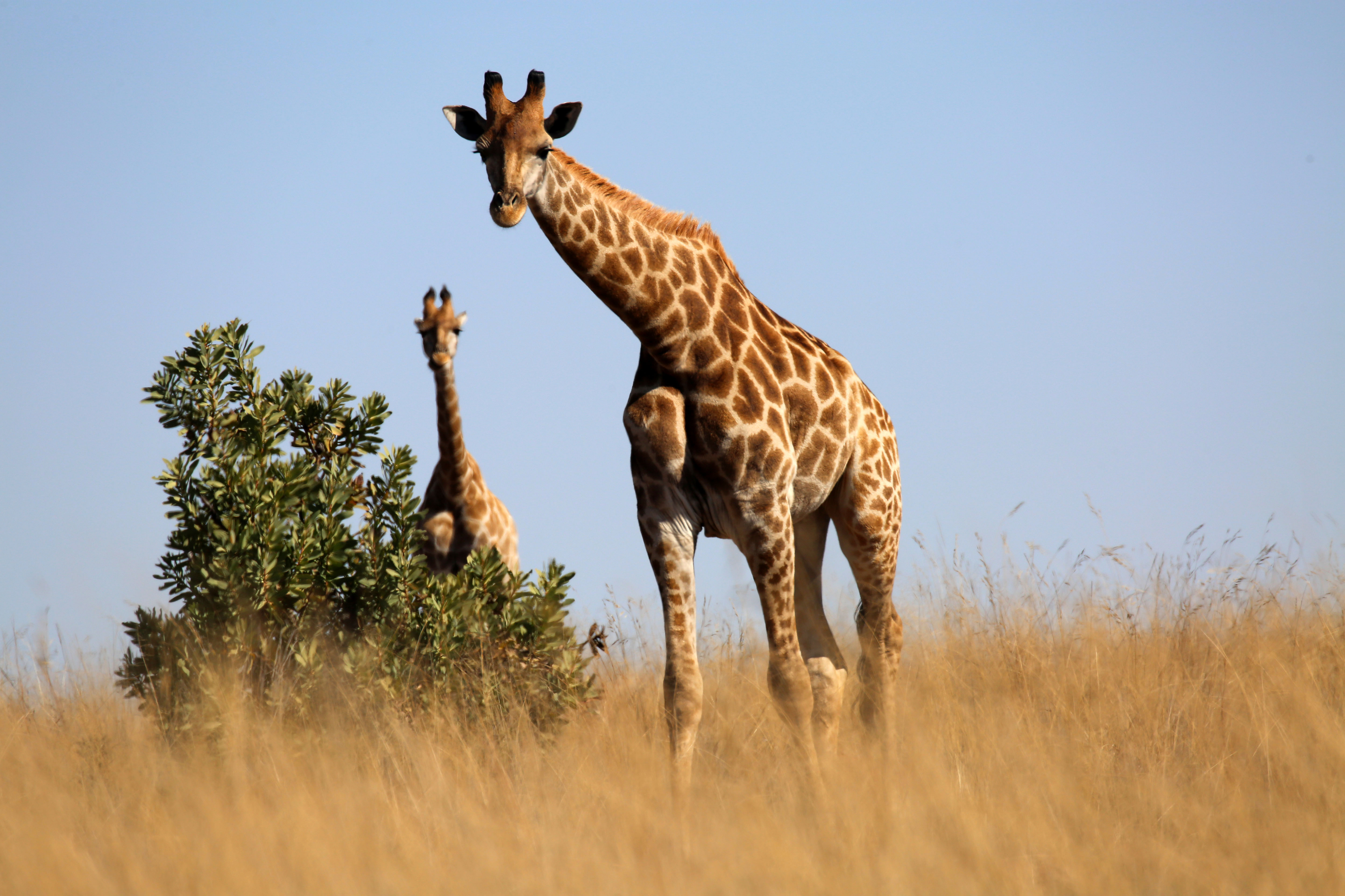 128391 download wallpaper Animals, Giraffe, Animal, Savanna, Grass screensavers and pictures for free
