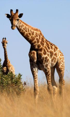 128391 скачать обои Животные, Жираф, Животное, Саванна, Трава - заставки и картинки бесплатно