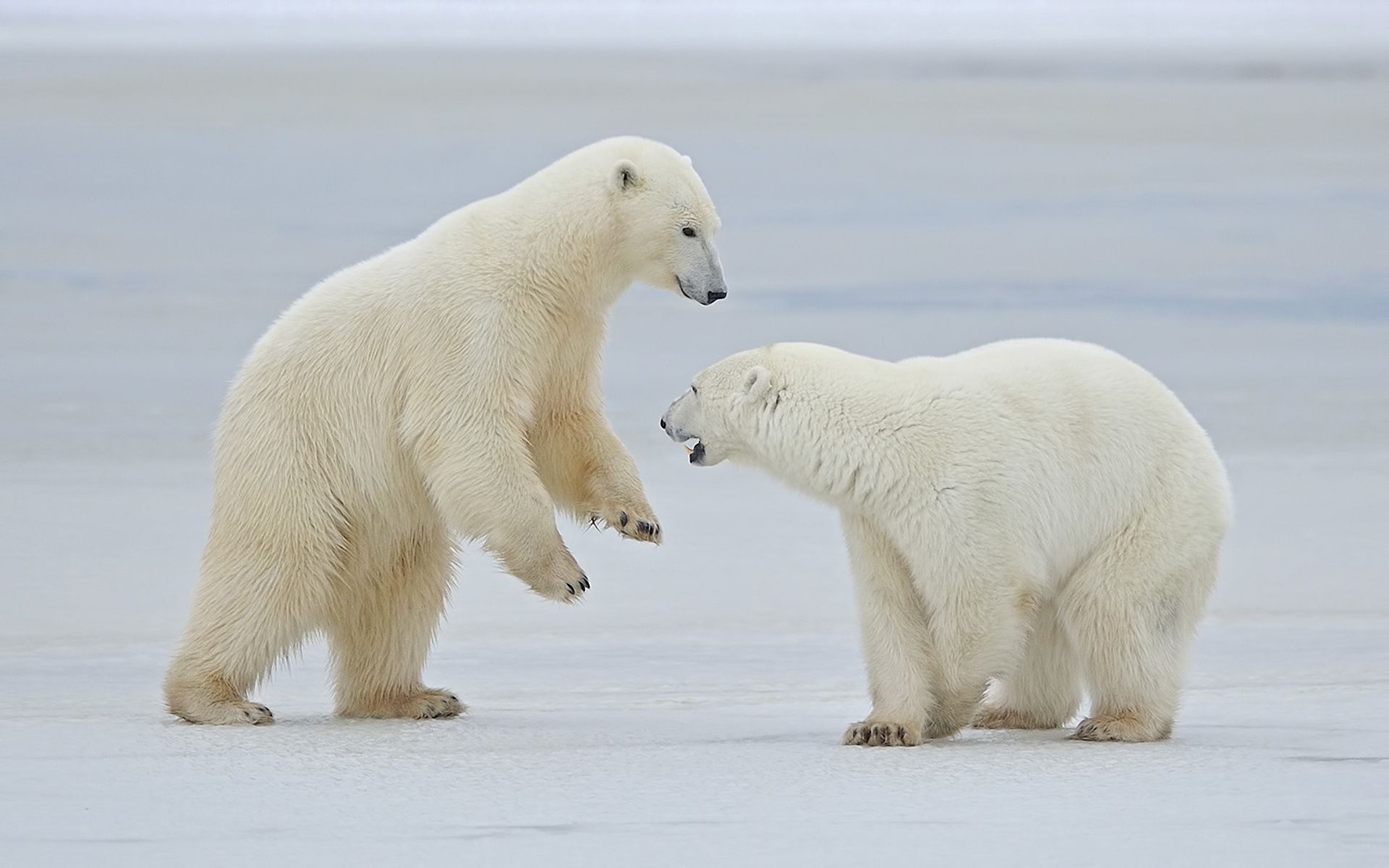 132445 download wallpaper Animals, White Bears, Polar Bears, Snow, Couple, Pair, Stroll screensavers and pictures for free