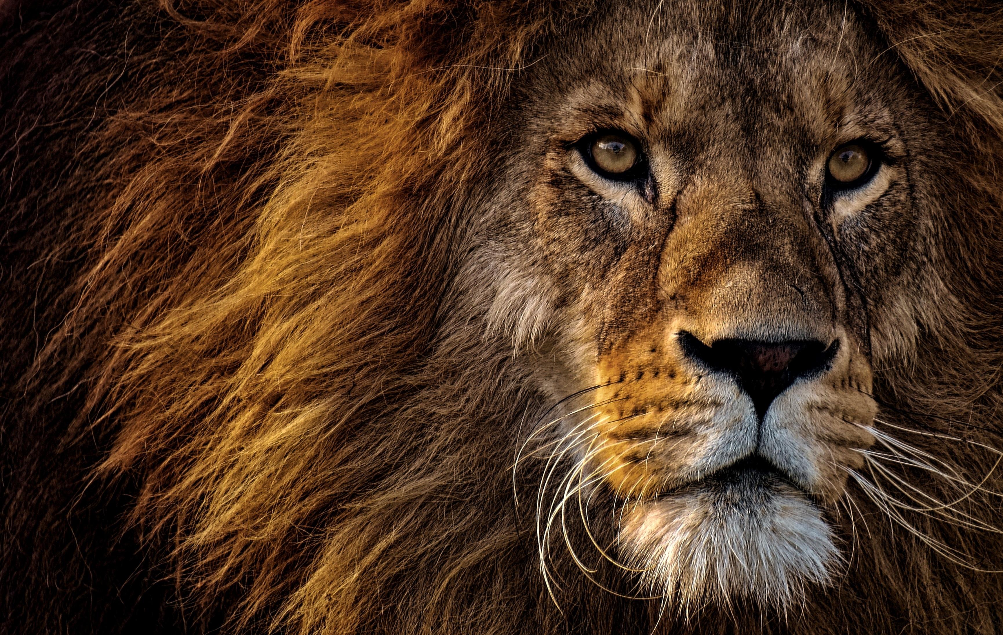 121351 baixar papel de parede Animais, Leão, Focinho, Um Leão, Predator, Predador, Visão, Opinião, Juba, Rei Das Feras, Rei Das Bestas - protetores de tela e imagens gratuitamente