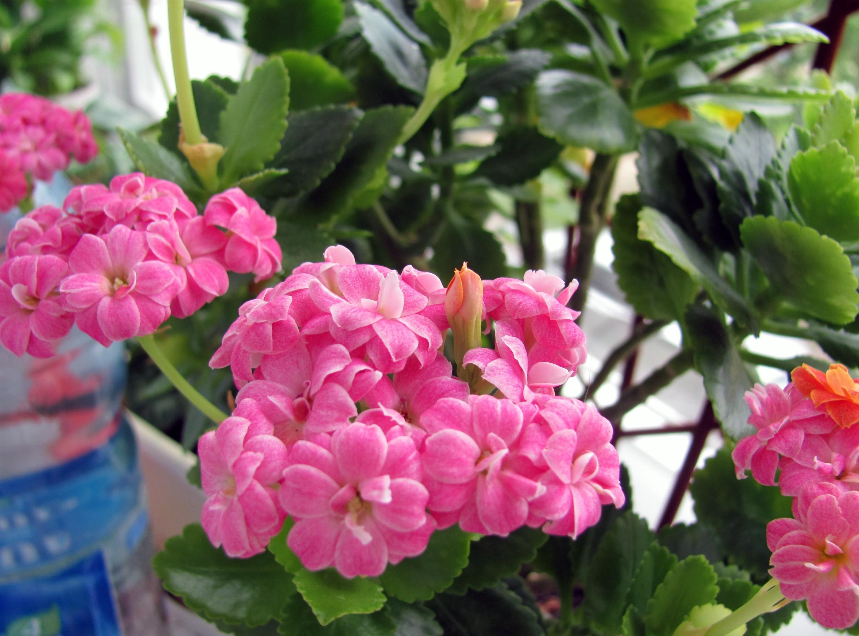 146071 download wallpaper Flowers, Kalanchoe, Flower, Room, Greens, Pot screensavers and pictures for free