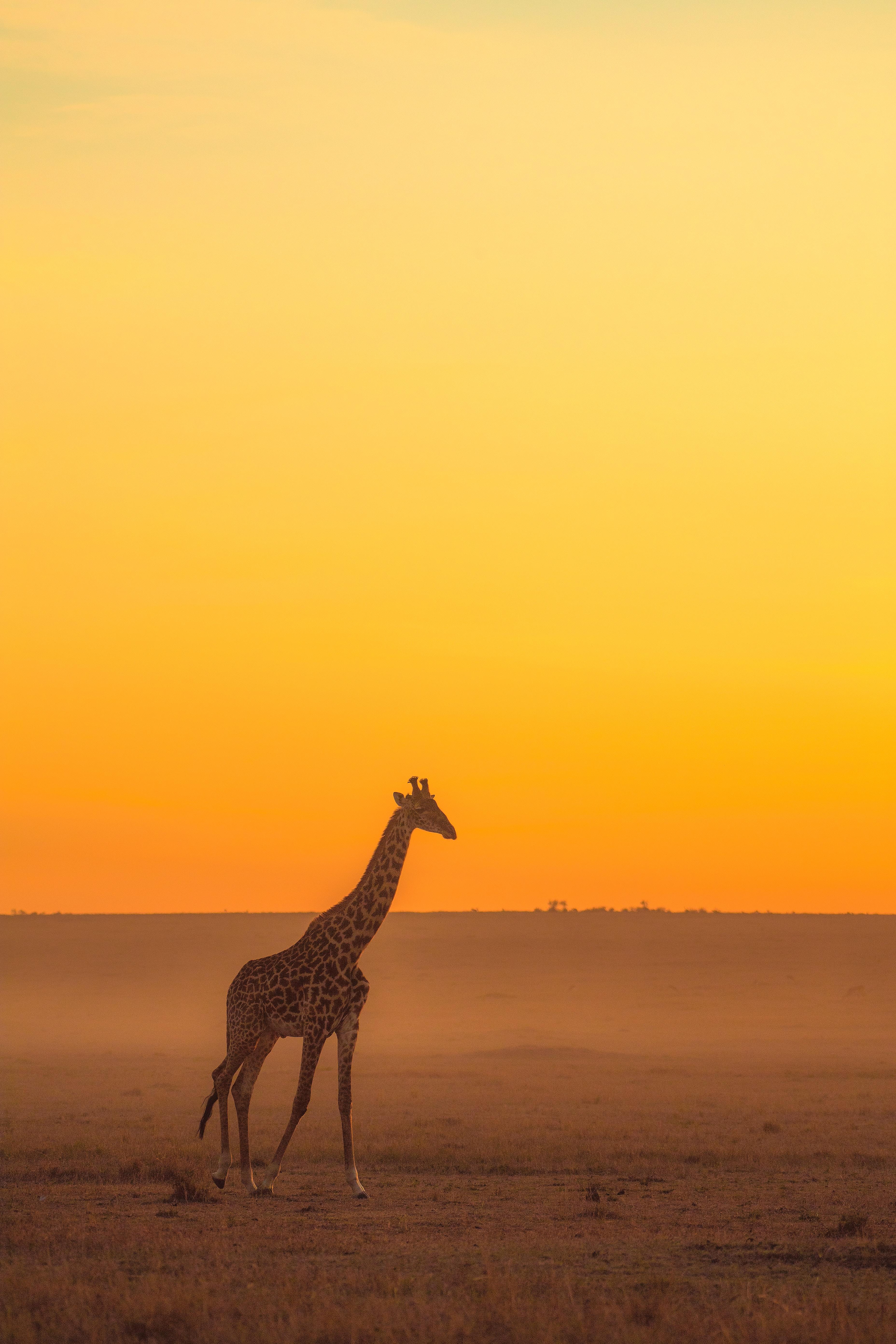 83657 download wallpaper Animals, Giraffe, Animal, Safari, Horizon screensavers and pictures for free