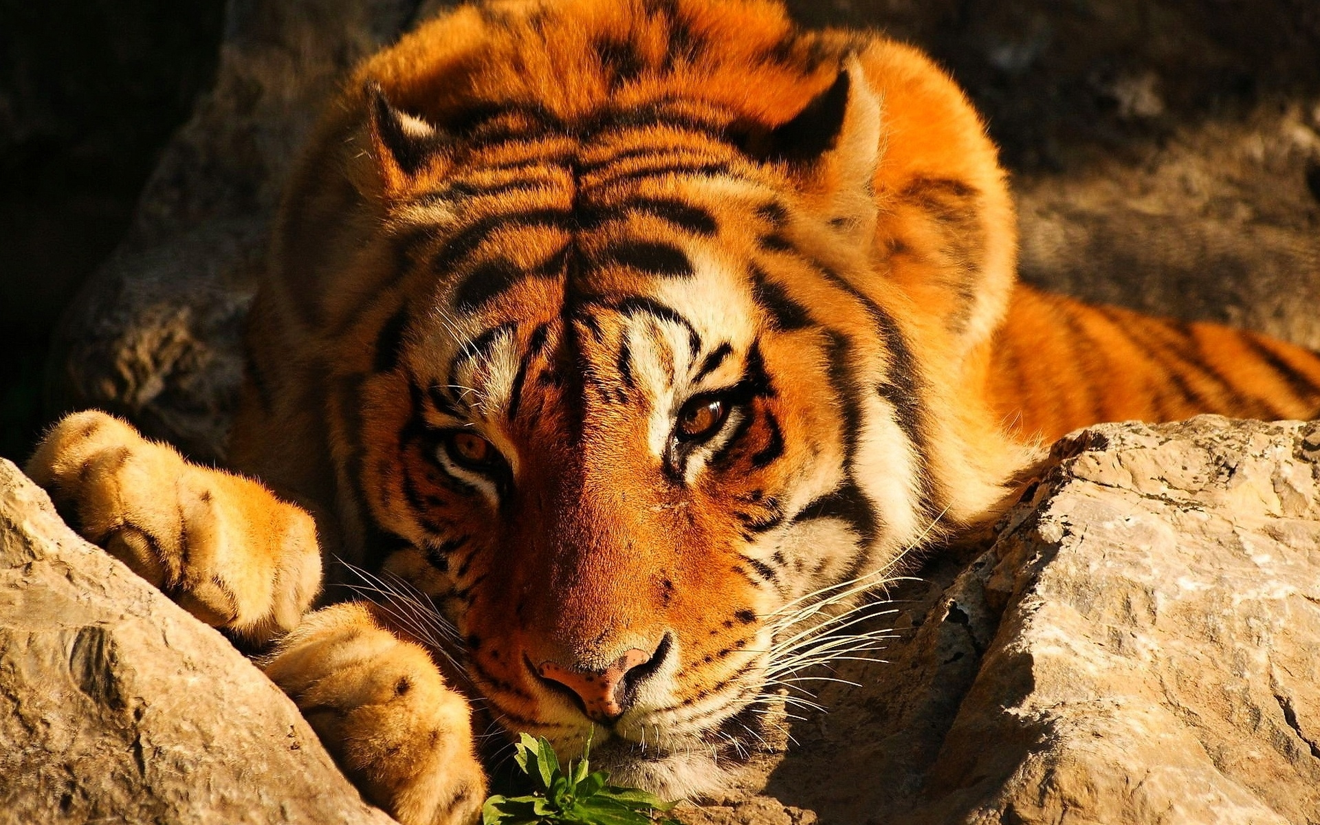 40780 download wallpaper Animals, Tigers screensavers and pictures for free