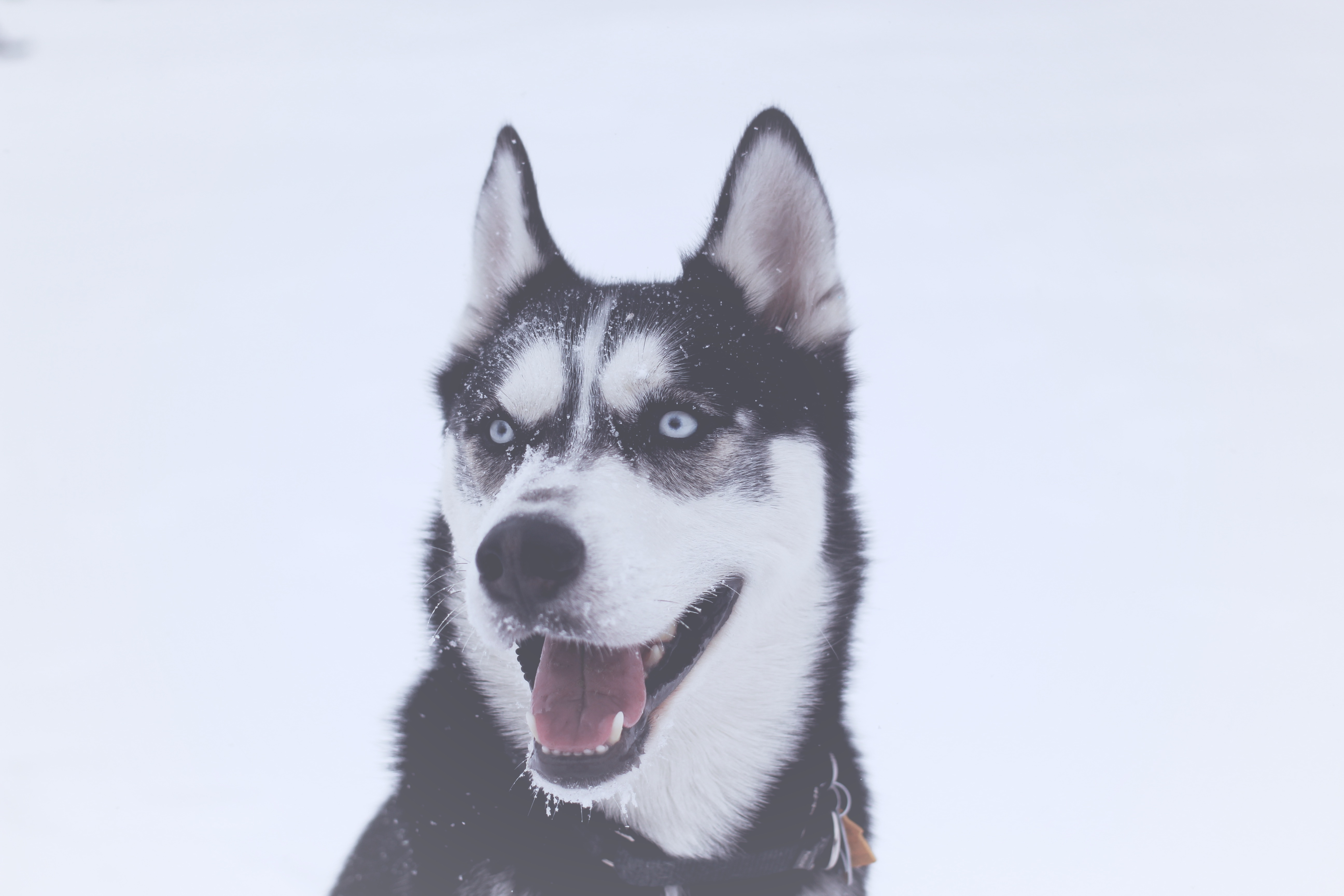 100247 Screensavers and Wallpapers Husky for phone. Download Animals, Dog, Muzzle, Husky, Blue Eyed, Blue-Eyed pictures for free