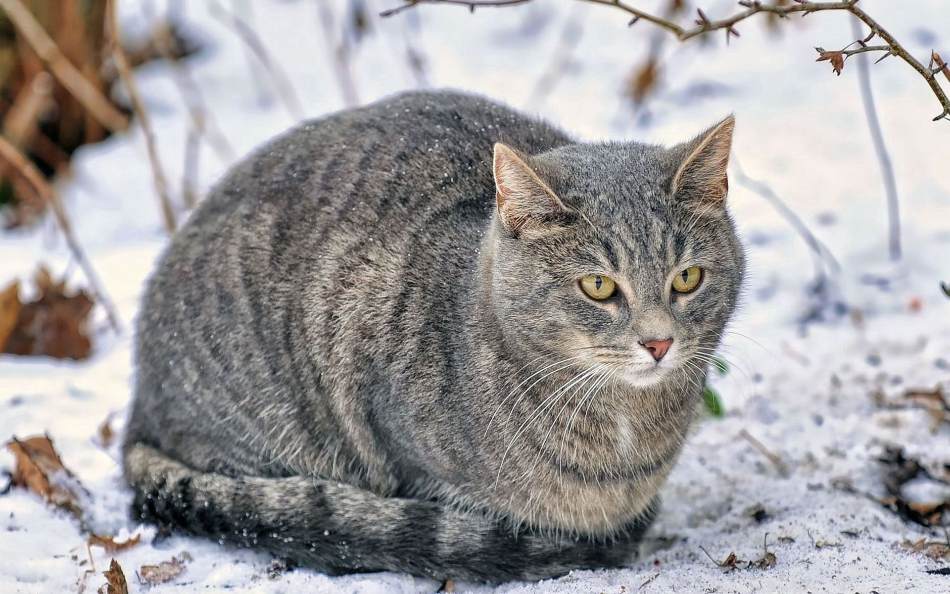 118826 download wallpaper Animals, Cat, Snow, Fluffy, Fat, Thick screensavers and pictures for free