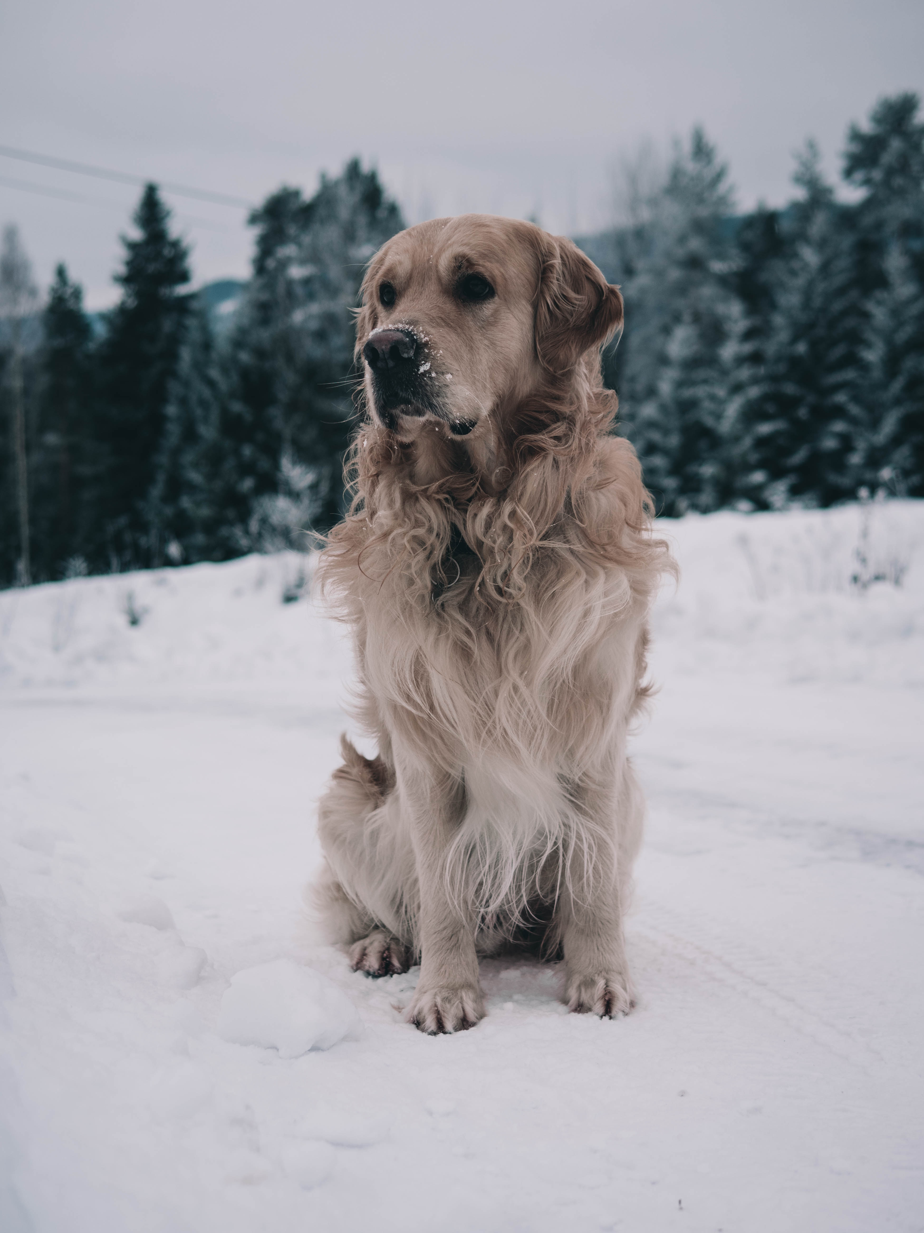 73606 download wallpaper Animals, Labrador, Dog, Muzzle, Winter, Snow screensavers and pictures for free