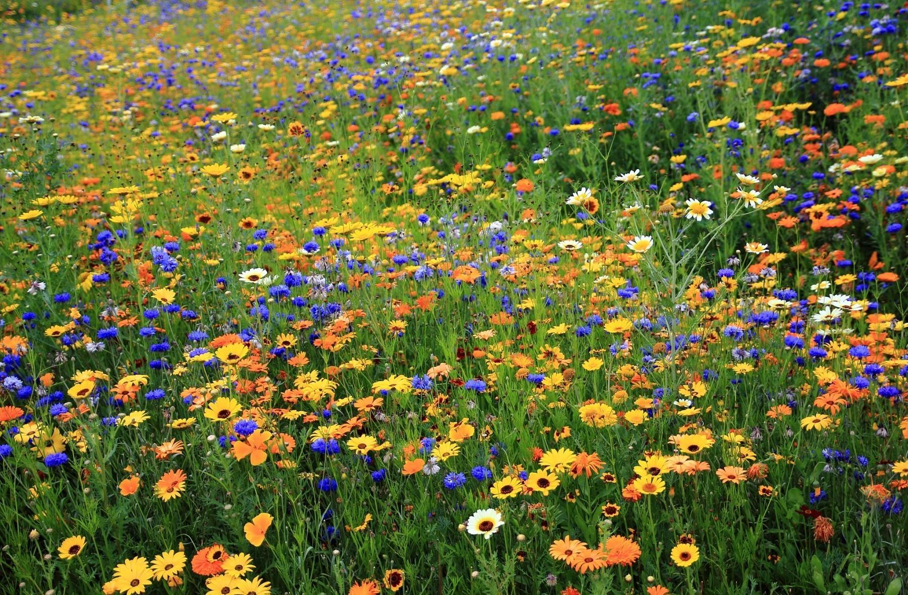 63486 Hintergrundbild herunterladen Sommer, Natur, Blumen, Kamille, Kornblumen, Polyana, Glade - Bildschirmschoner und Bilder kostenlos