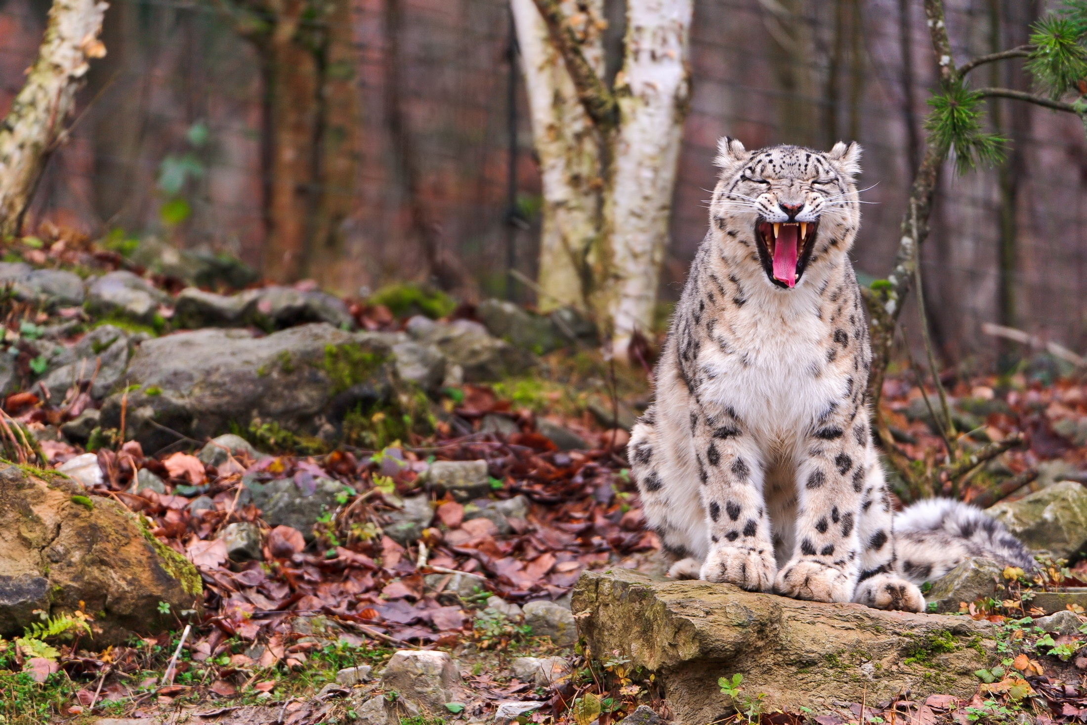 74045 download wallpaper Animals, Predator, Grin, Muzzle, Autumn, Leaves, Forest, Snow Leopard screensavers and pictures for free
