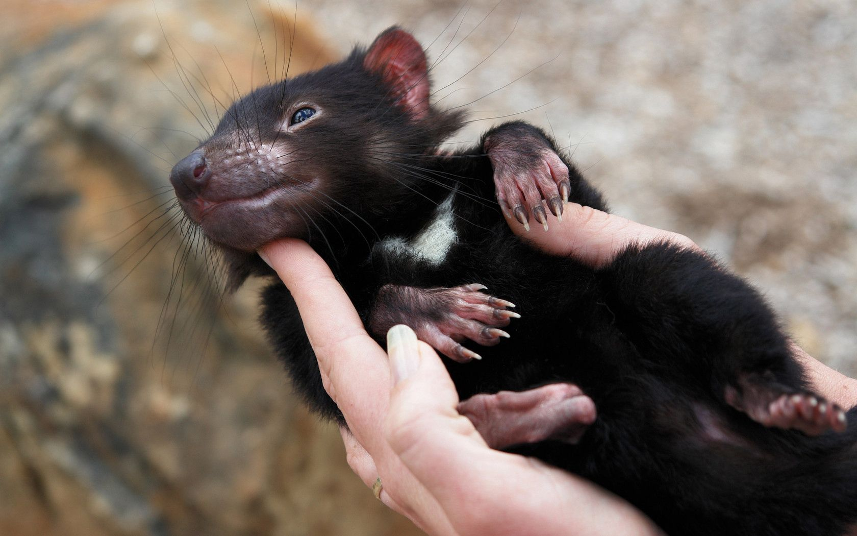 89289 download wallpaper Animals, Tasmanian Devil, Marsupial, Animal, To Lie Down, Lie, Hands screensavers and pictures for free