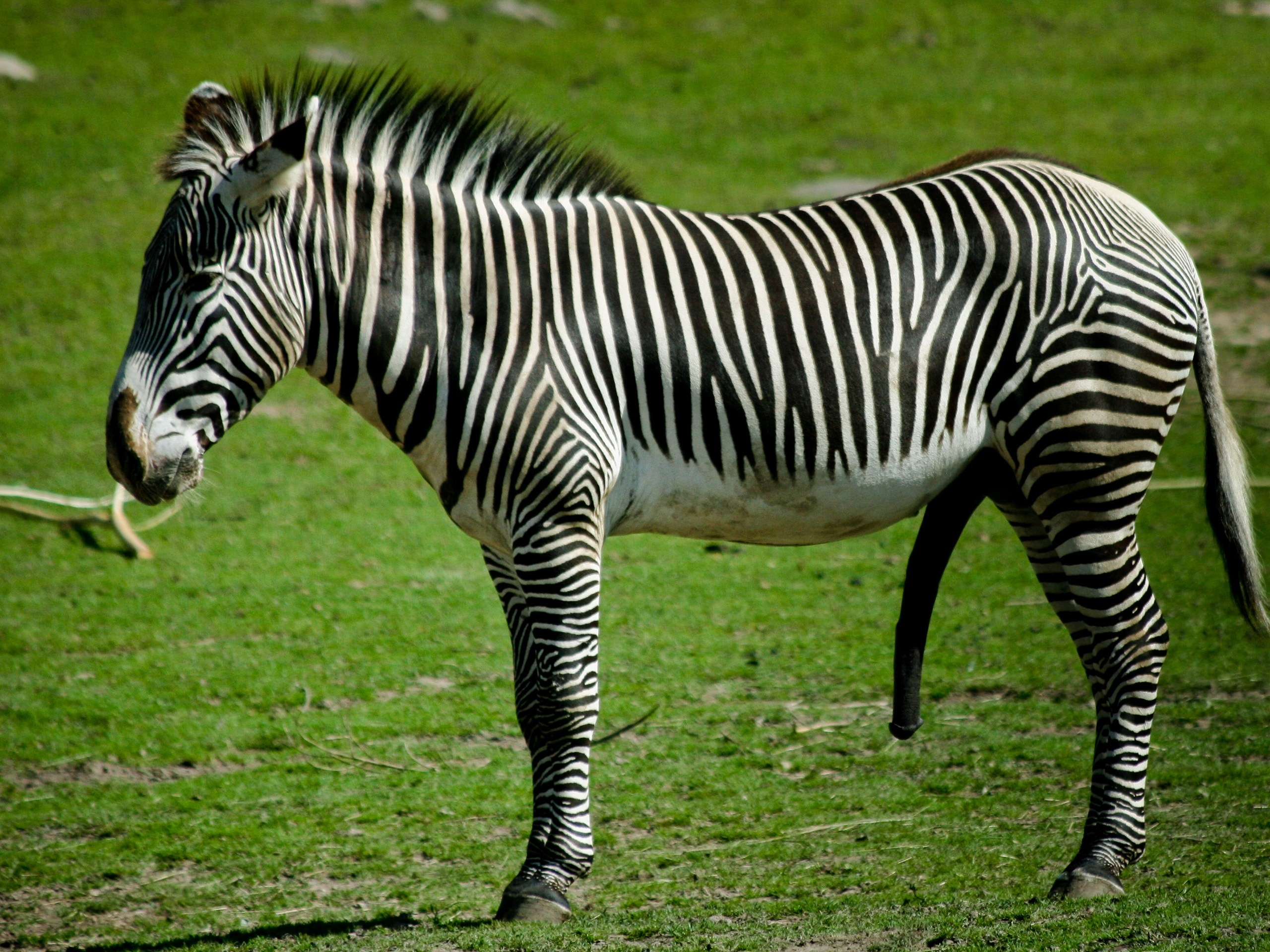 76292 download wallpaper Animals, Zebra, Grass, To Stand, Stand, Striped screensavers and pictures for free