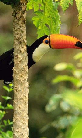 8398 download wallpaper Animals, Birds, Toucans screensavers and pictures for free