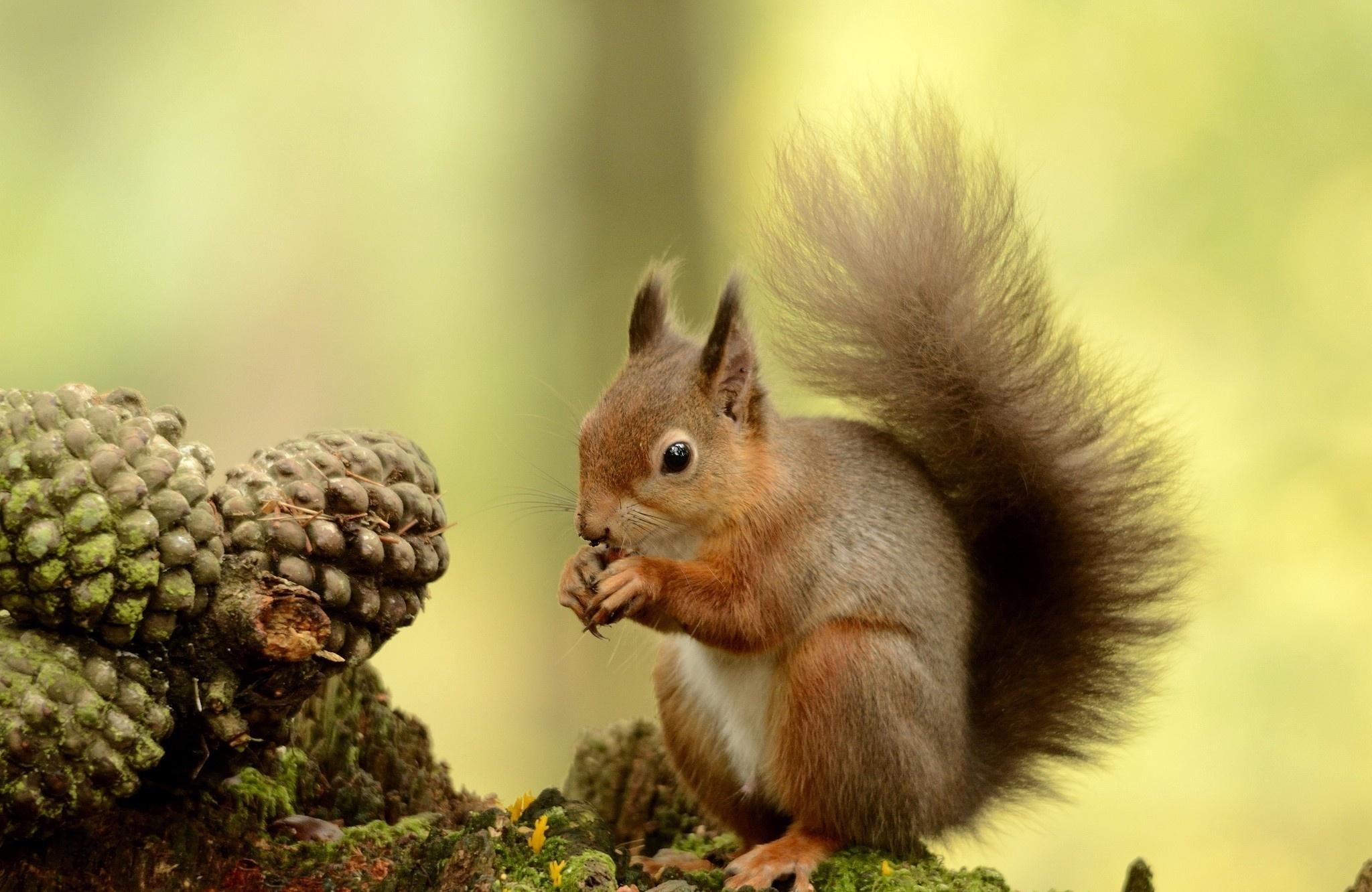 116075 Hintergrundbild herunterladen Eichhörnchen, Tiere, Holz, Flauschige, Baum, Schwanz - Bildschirmschoner und Bilder kostenlos