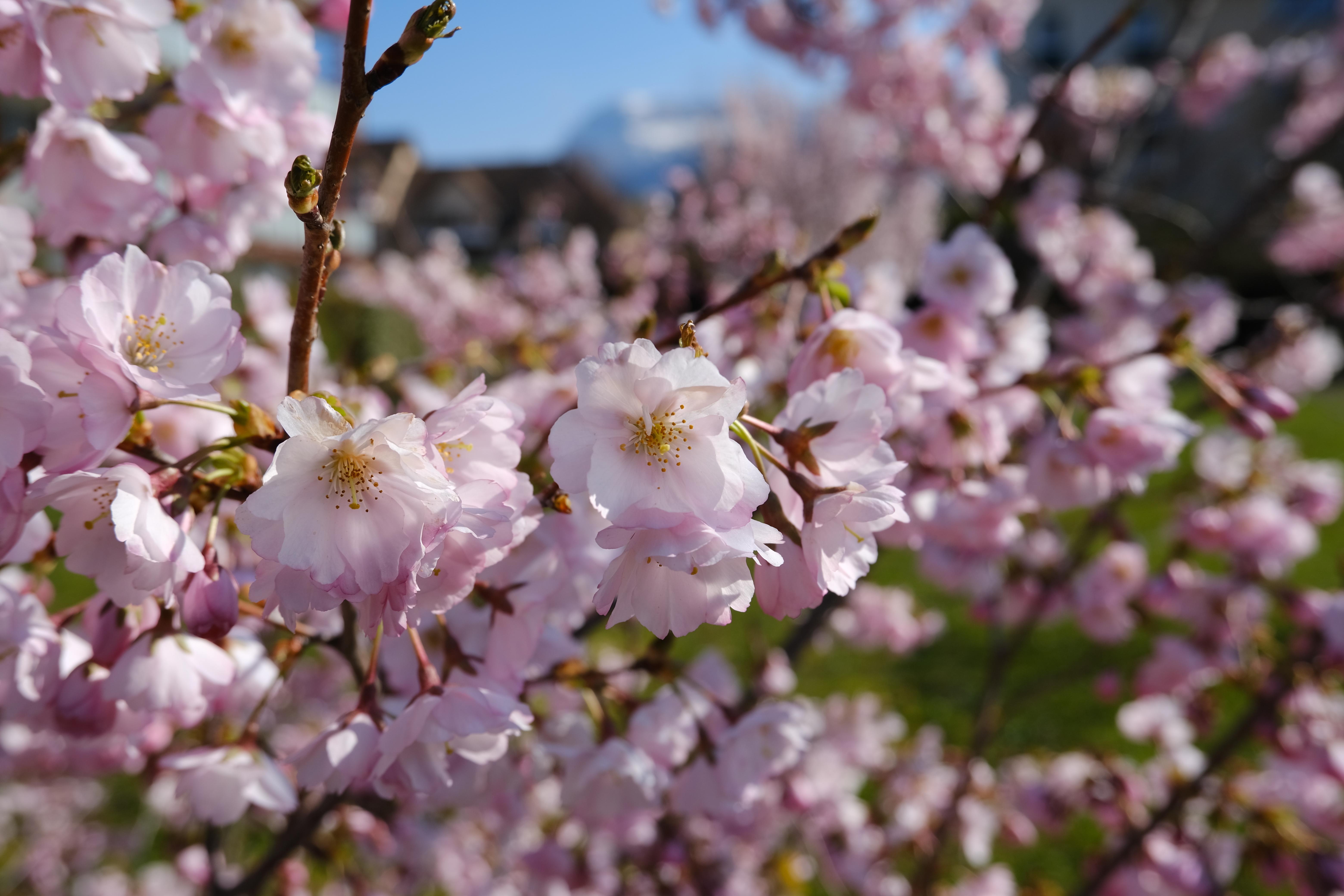 102929 Screensavers and Wallpapers Sakura for phone. Download Flowers, Sakura, Macro, Petals, Branches, Spring pictures for free