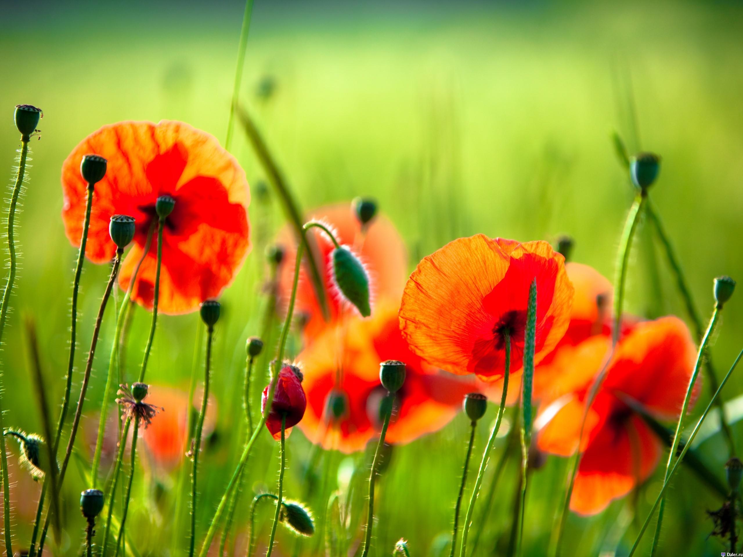 20729 скачать обои Растения, Цветы, Маки - заставки и картинки бесплатно