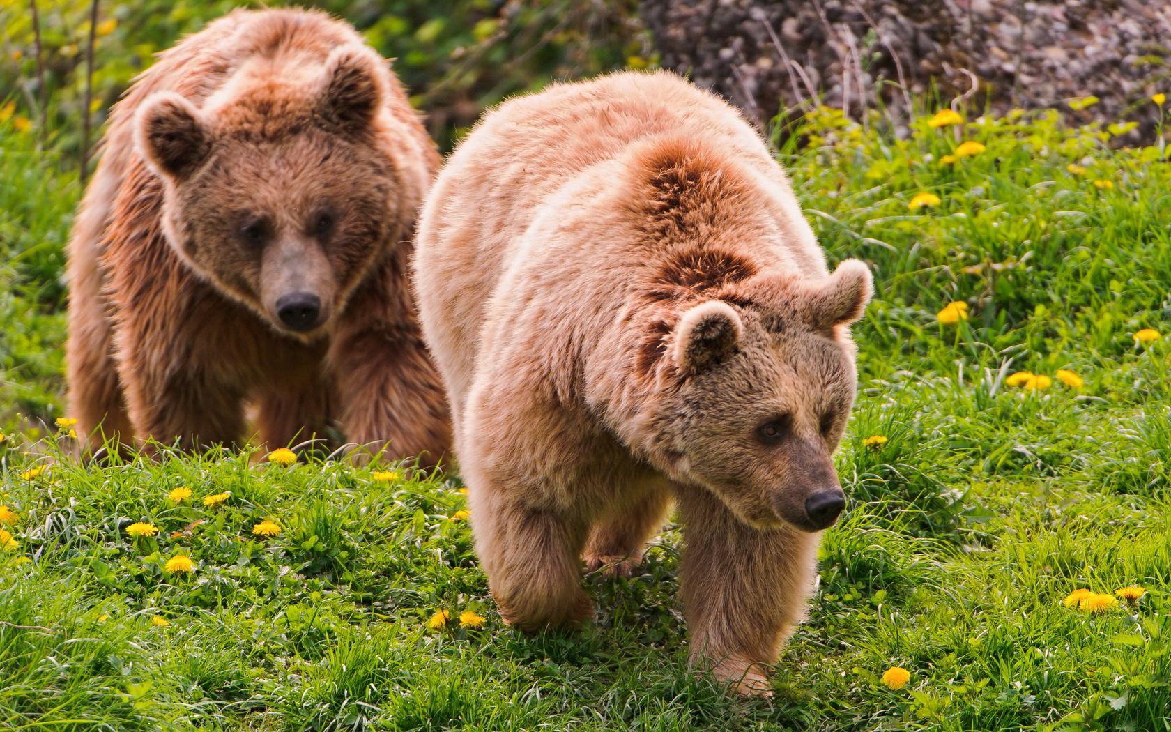 149887 Заставки и Обои Медведи на телефон. Скачать Животные, Цветы, Медведи, Лето, Лес, Пара, Прогулка картинки бесплатно