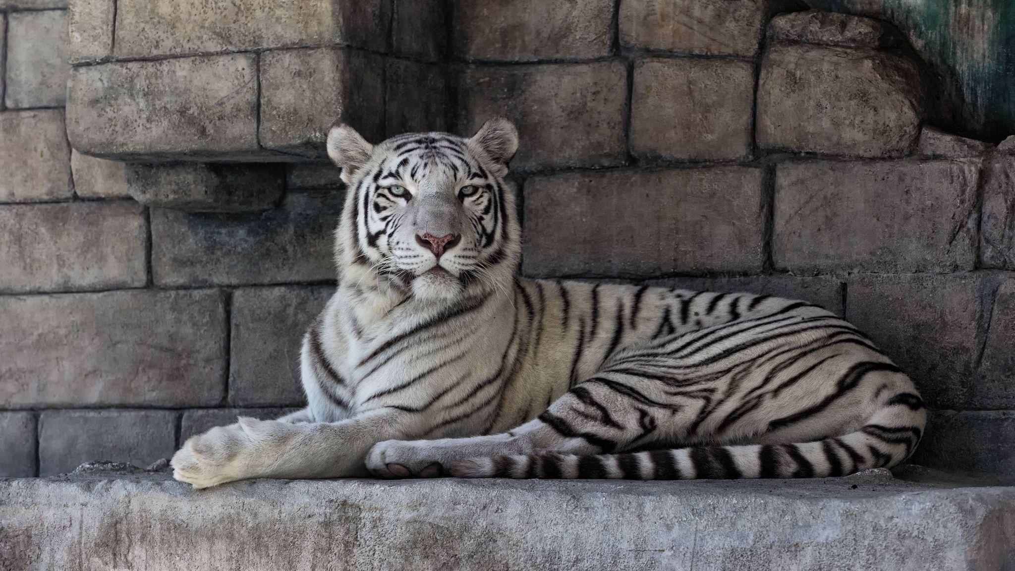 100949 descargar fondo de pantalla Animales, Tigre Blanco, Depredador, Rayas, Rayado: protectores de pantalla e imágenes gratis