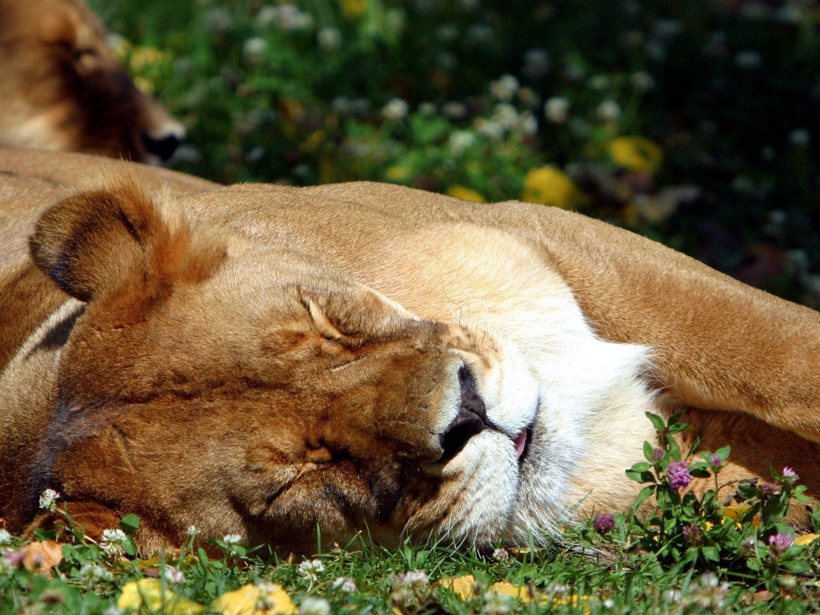 111528 download wallpaper Animals, Lion, Muzzle, Sleep, Dream, Sleeping, Asleep, Big Cat screensavers and pictures for free
