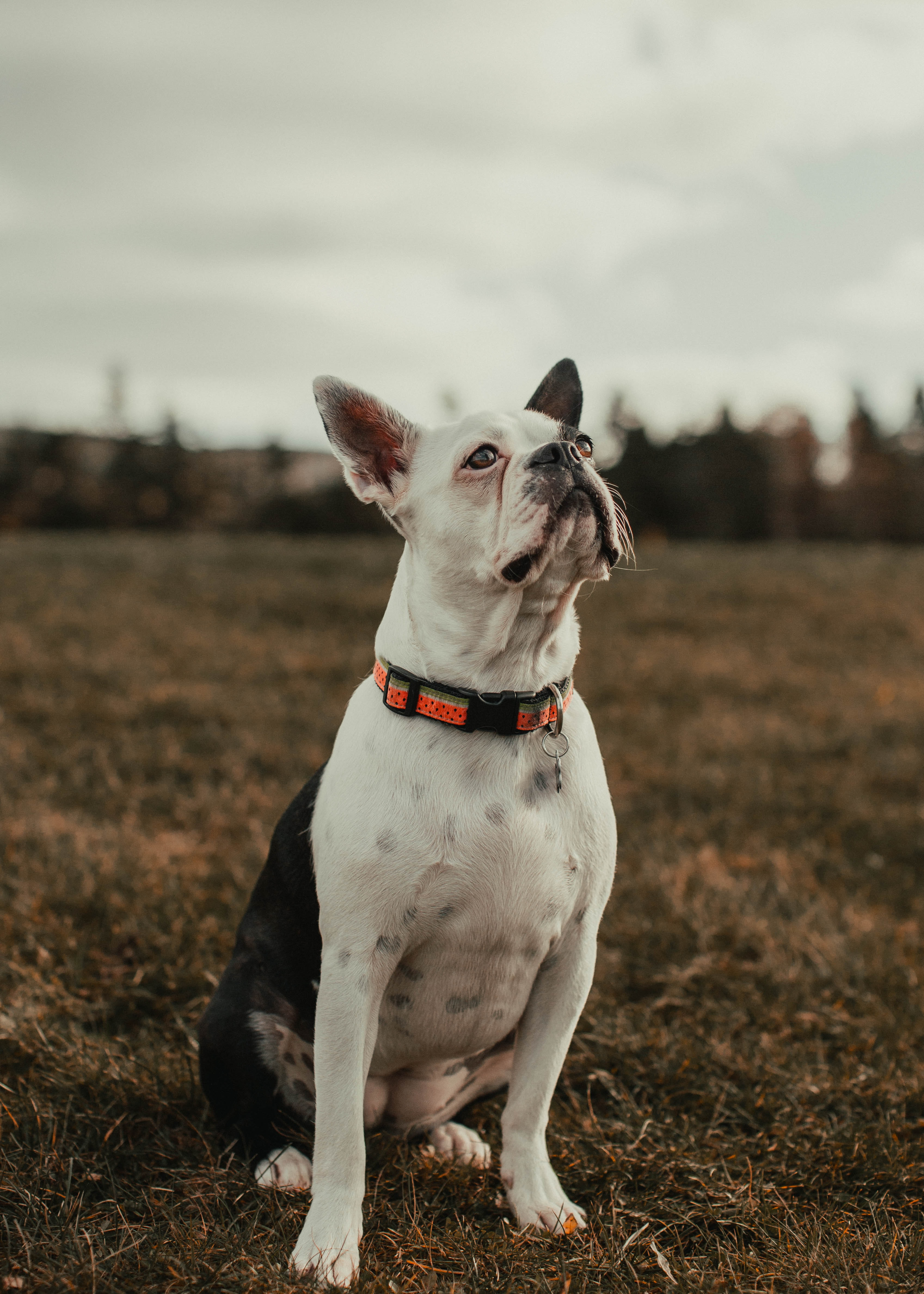 113015 download wallpaper Animals, Bulldog, Dog, Pet, Sight, Opinion screensavers and pictures for free