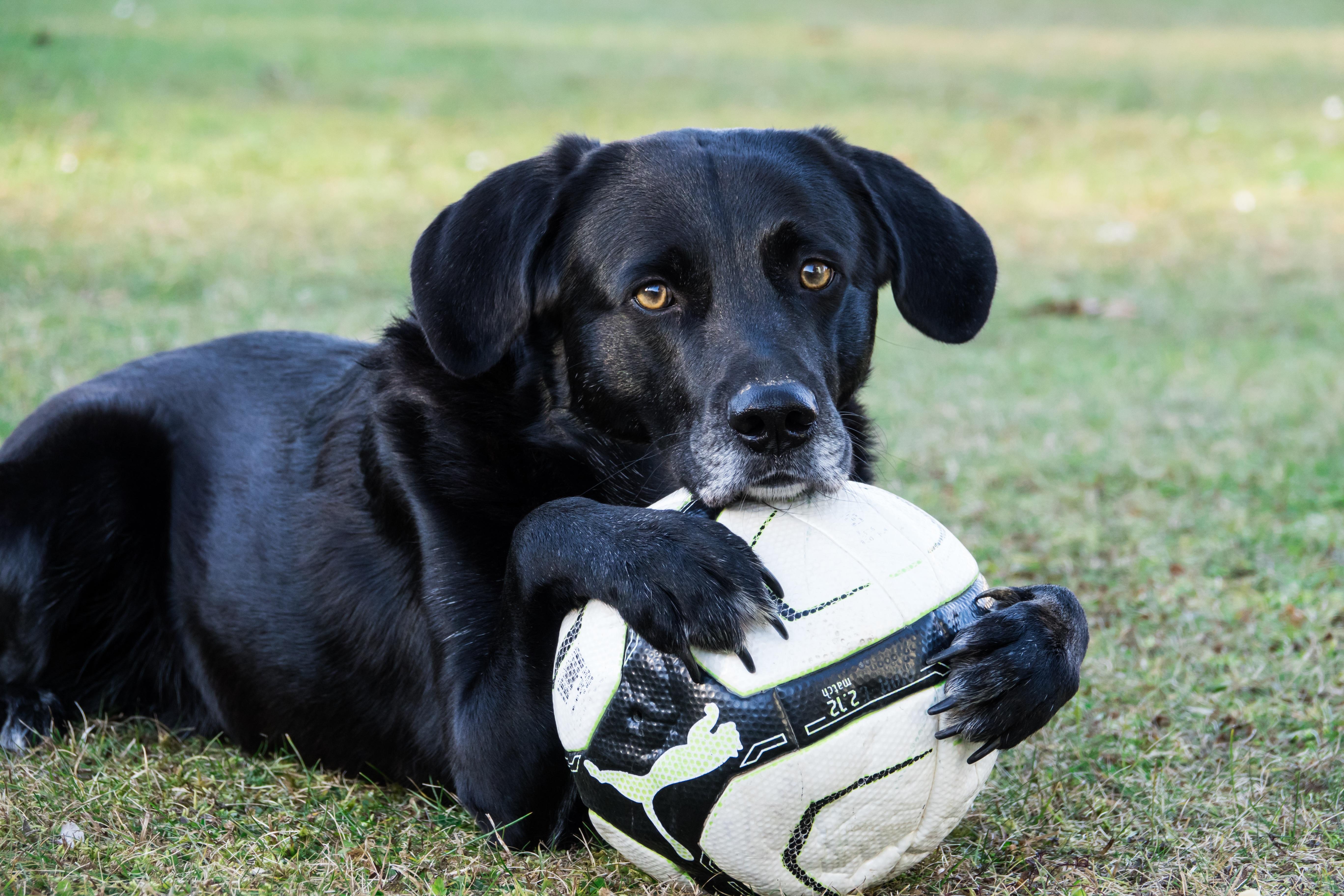 94226 скачать обои Животные, Собака, Мяч, Футбол, Лапы, Морда - заставки и картинки бесплатно