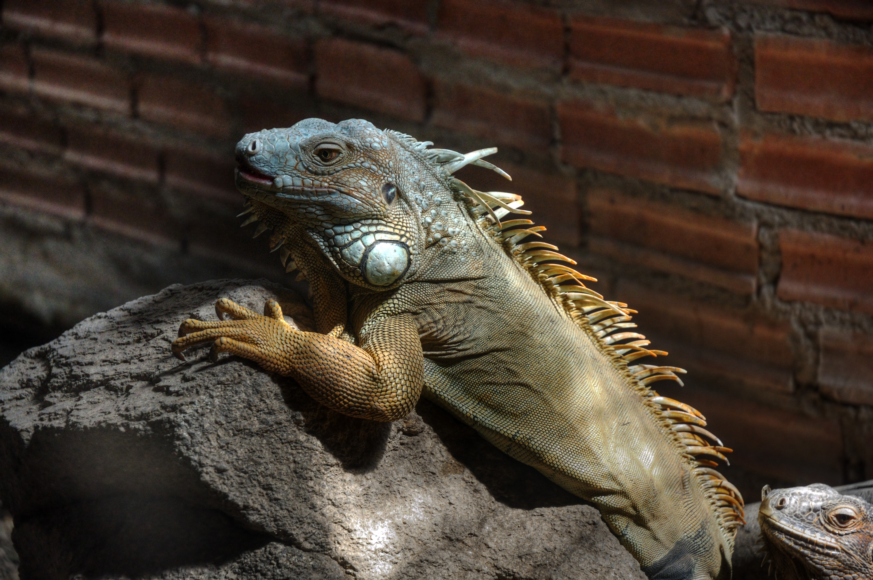 136198 download wallpaper Animals, Iguana, Color, Branch, Climb screensavers and pictures for free
