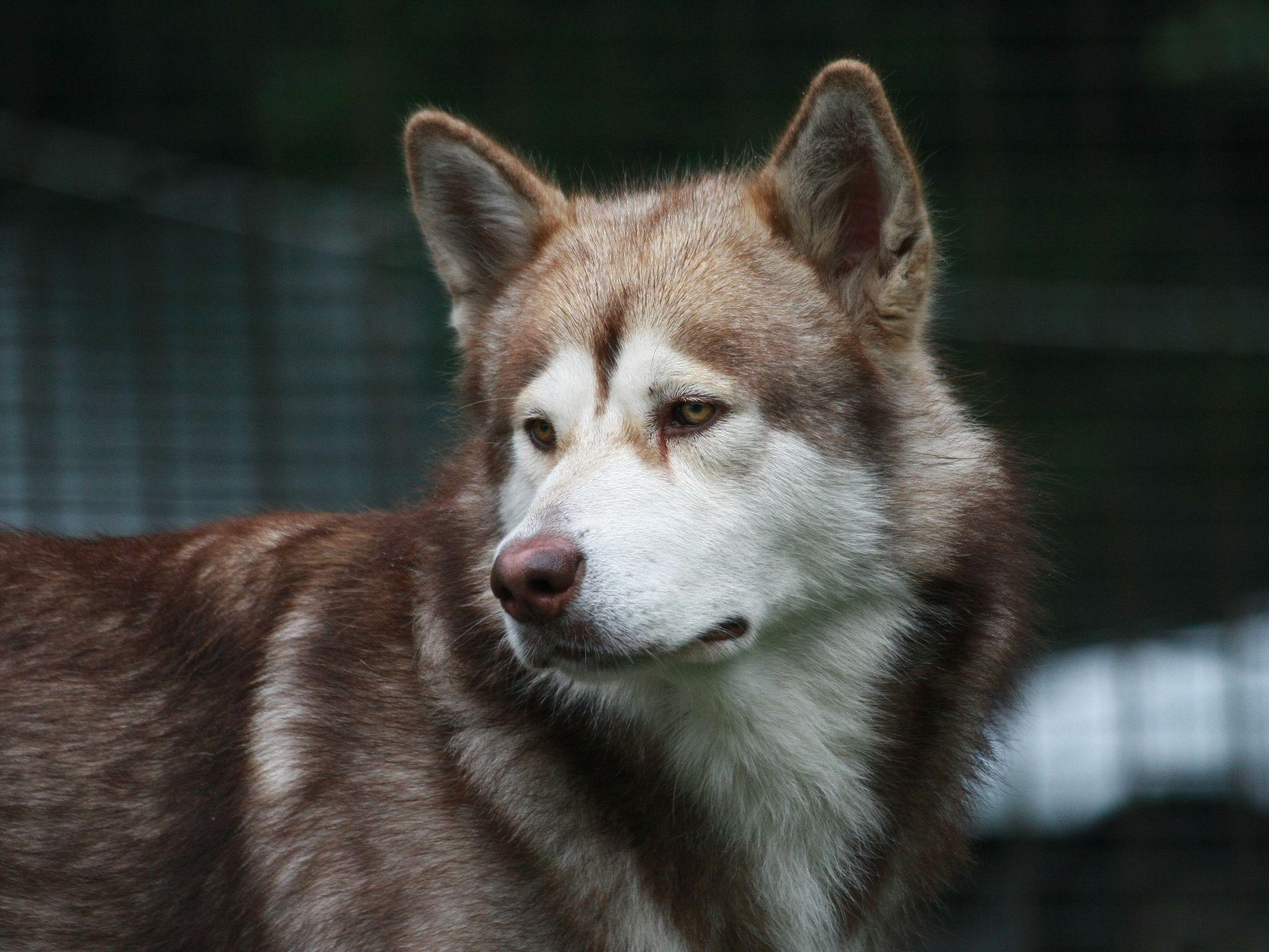 50477 скачать обои Животные, Собака, Печаль, Морда, Коричневый, Белый - заставки и картинки бесплатно