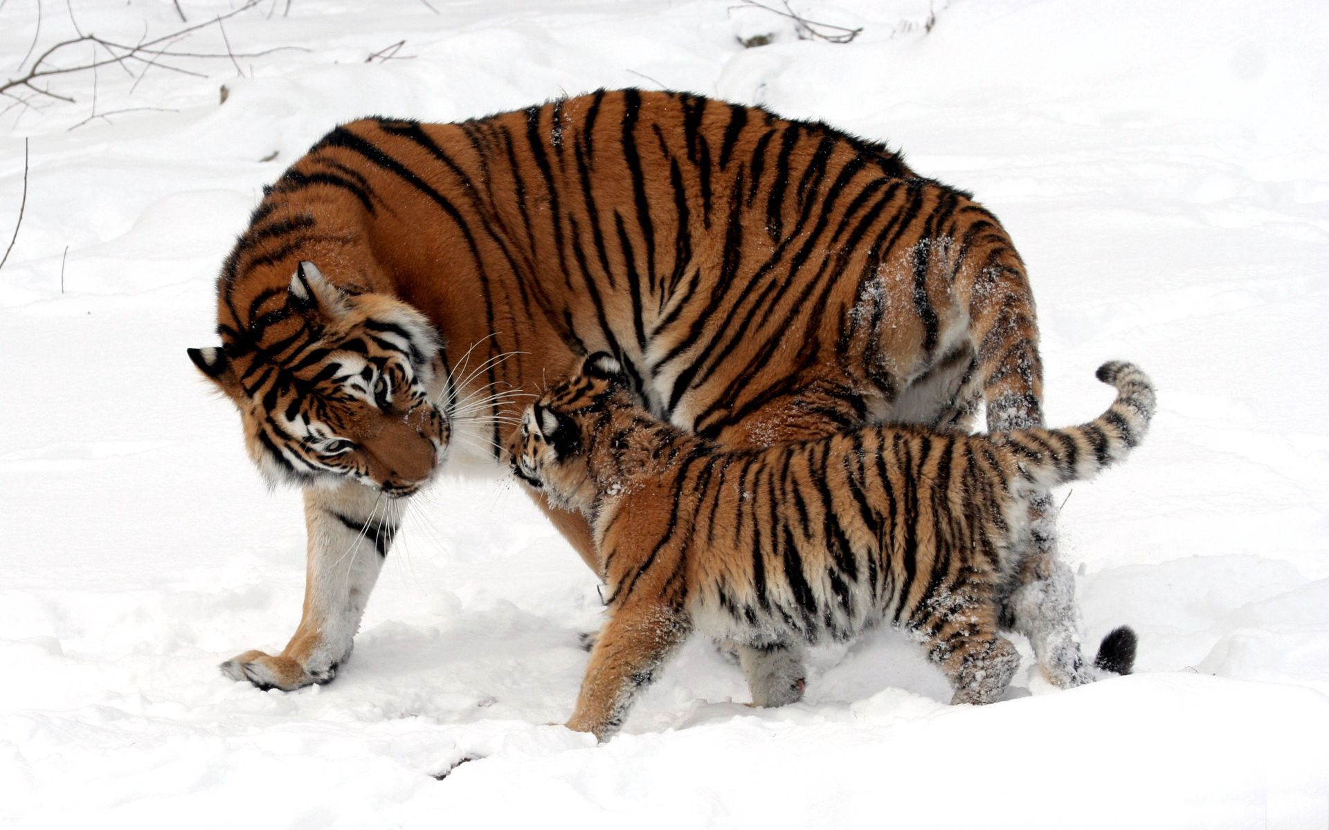 138859 download wallpaper Animals, Young, Joey, Tiger, Tiger Cub, Snow, Play screensavers and pictures for free