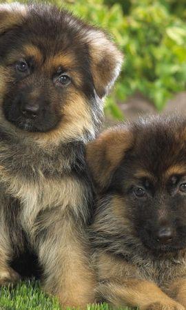41690 baixar papel de parede Animais, Cães - protetores de tela e imagens gratuitamente
