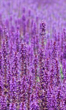 63250 скачать Фиолетовые обои на телефон бесплатно, Цветы, Поле, Много Фиолетовые картинки и заставки на мобильный