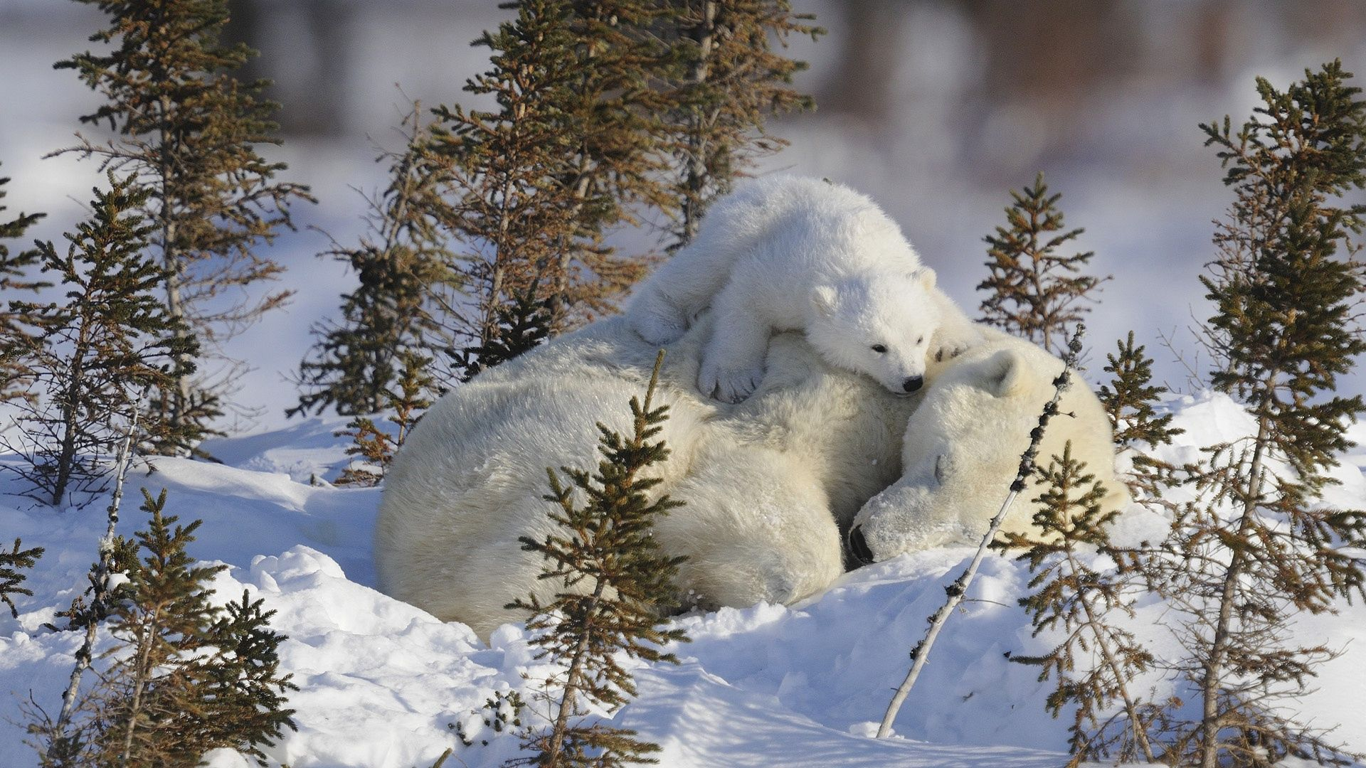 152950 download wallpaper Animals, White Bears, Polar Bears, Family, Branches, Snow screensavers and pictures for free