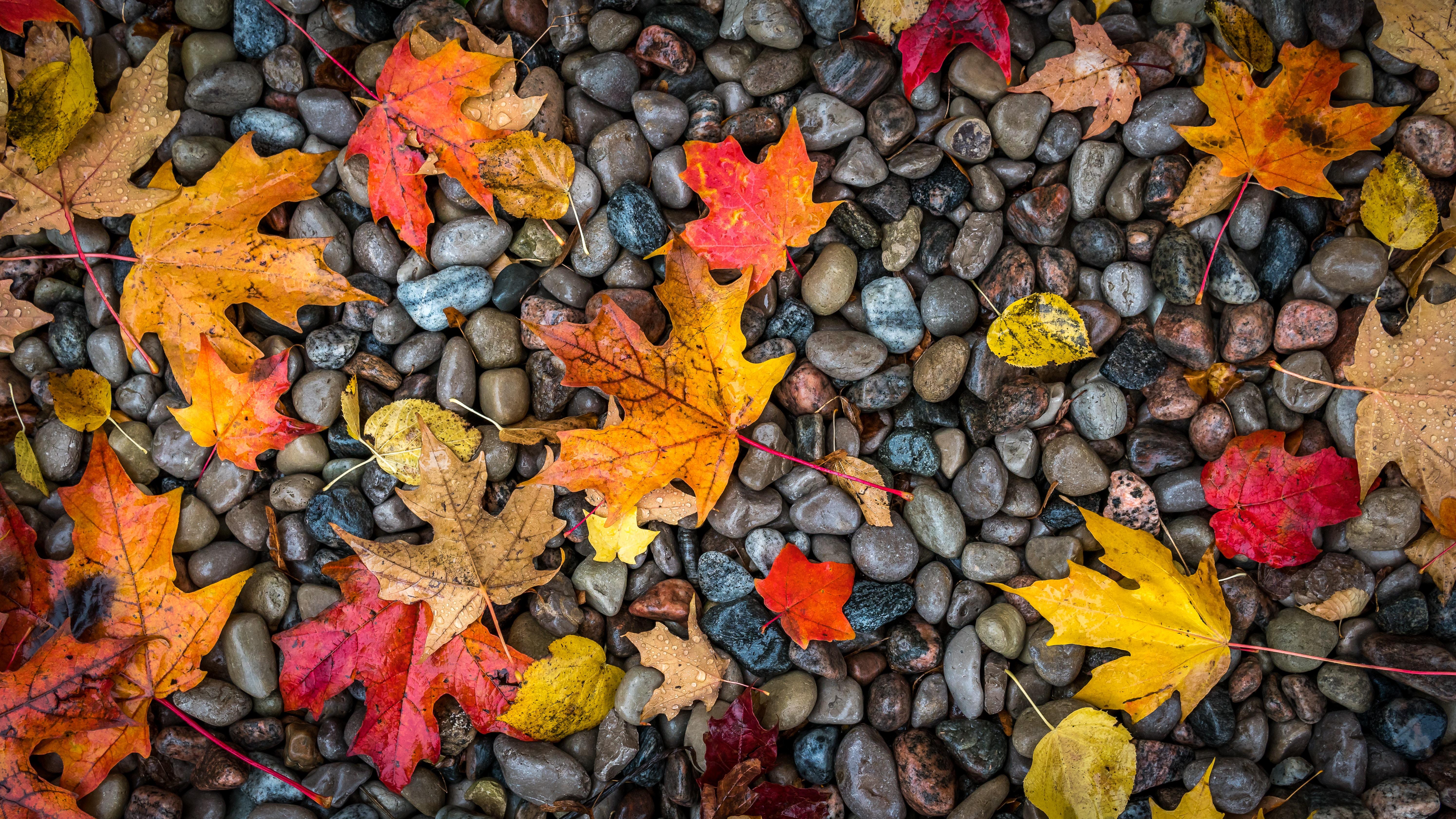 104829 завантажити шпалери Листя, Природа, Камені, Осінь, Клен, Вологий - заставки і картинки безкоштовно