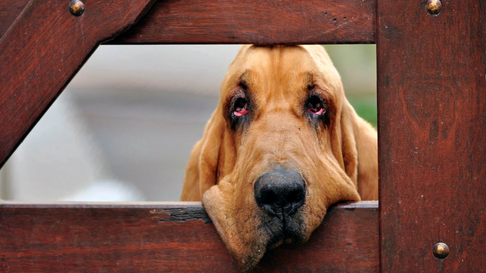 141697 download wallpaper Animals, Dog, Muzzle, Fence, Wood, Wooden screensavers and pictures for free