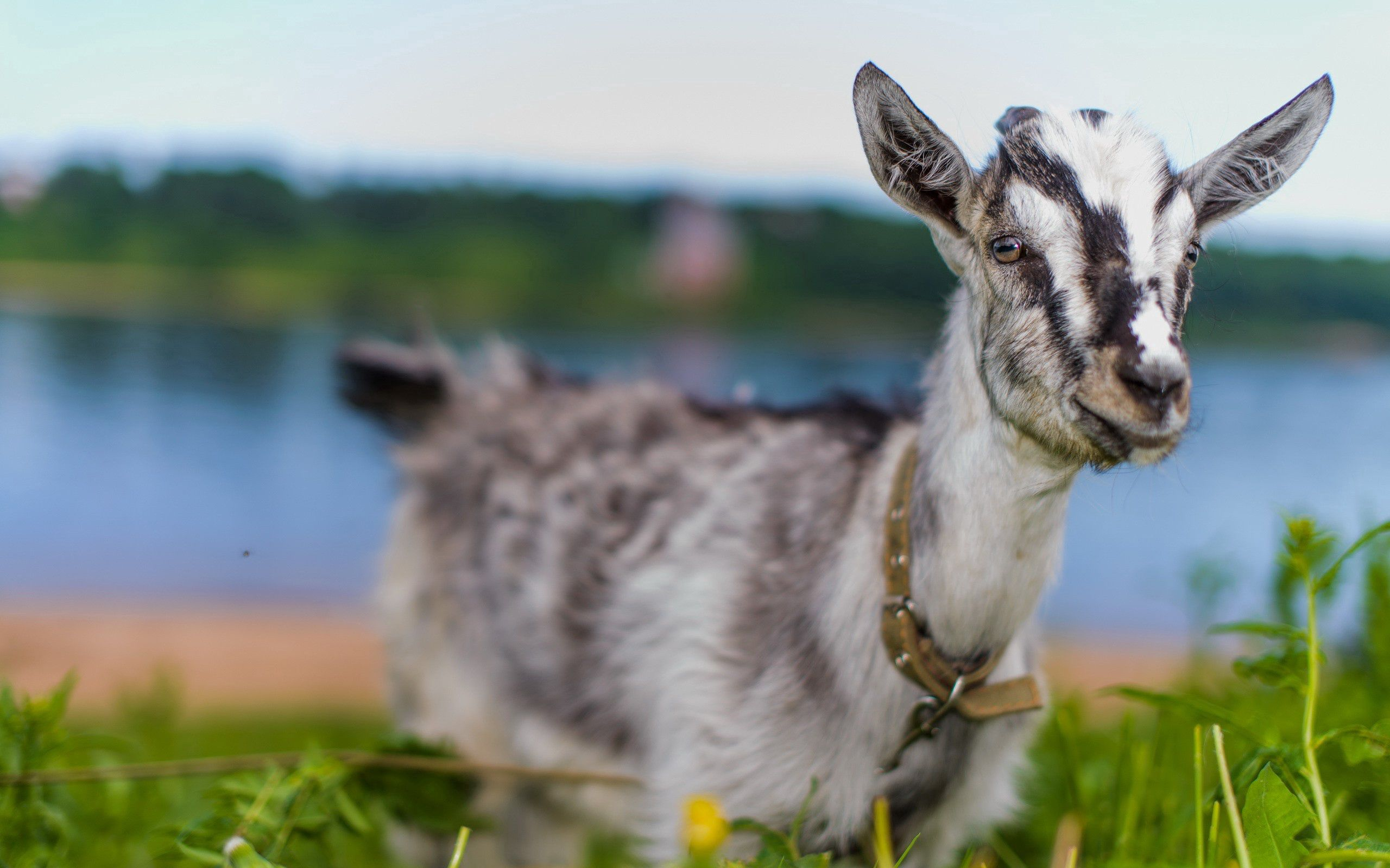 153180 Screensavers and Wallpapers Animal for phone. Download Animals, Goat, Animal, Cute, Nice, Sight, Opinion, Grass pictures for free