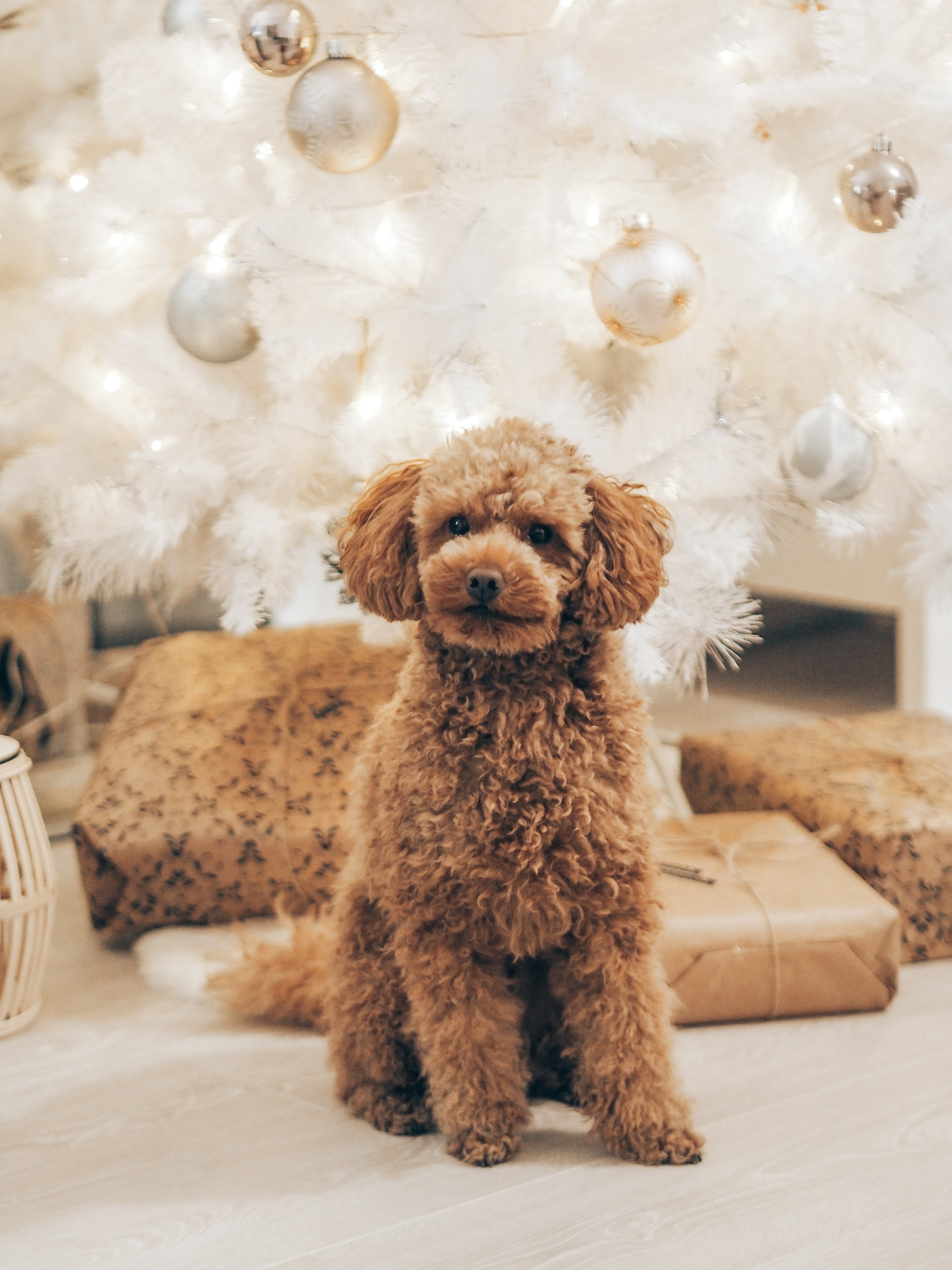 59724 download wallpaper Animals, Poodle, Dog, Pet, Brown, Curly screensavers and pictures for free