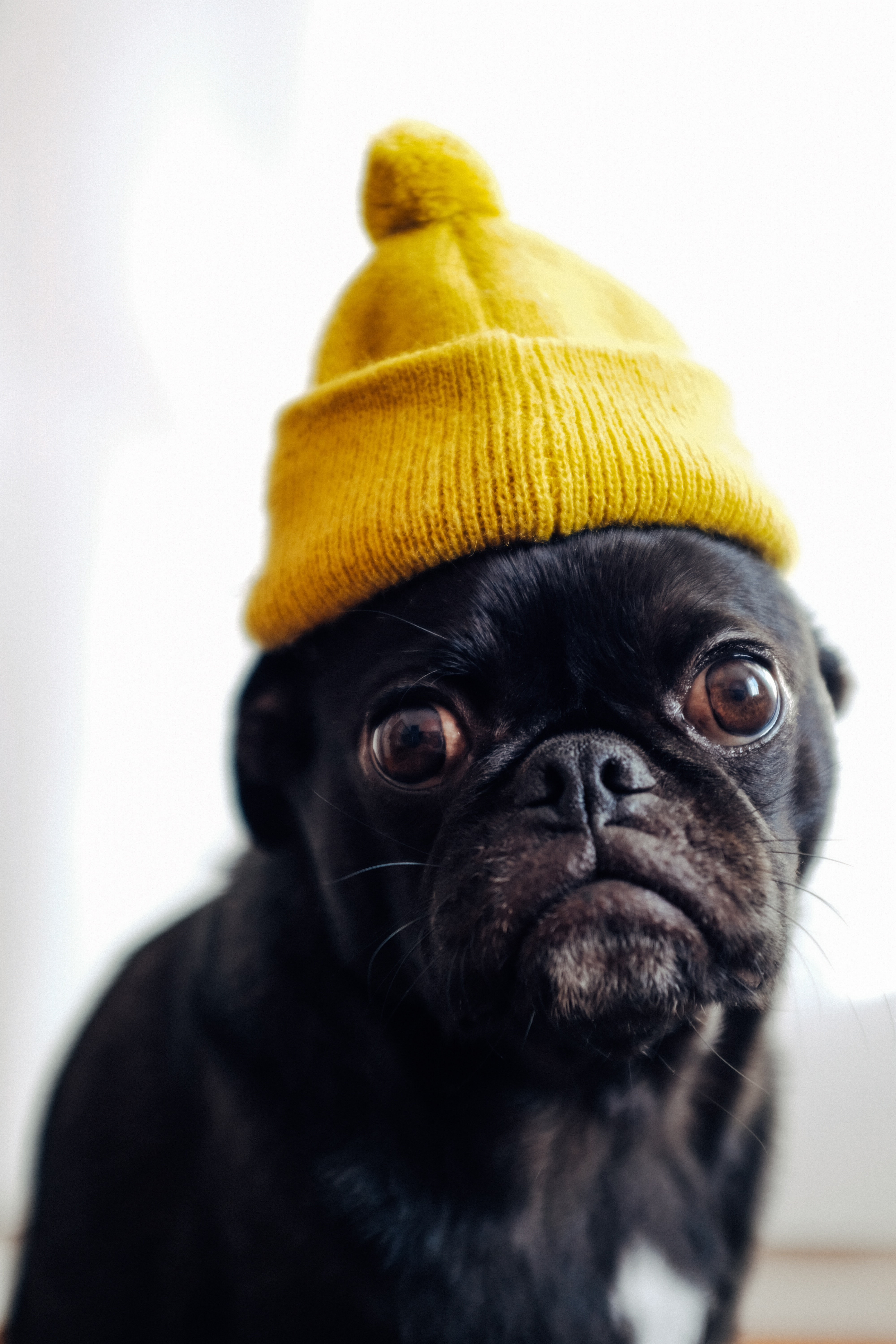 52455 download wallpaper Animals, Pug, Dog, Cap, Pet, Funny screensavers and pictures for free