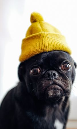 52455 Screensavers and Wallpapers Funny for phone. Download Animals, Pug, Dog, Cap, Pet, Funny pictures for free