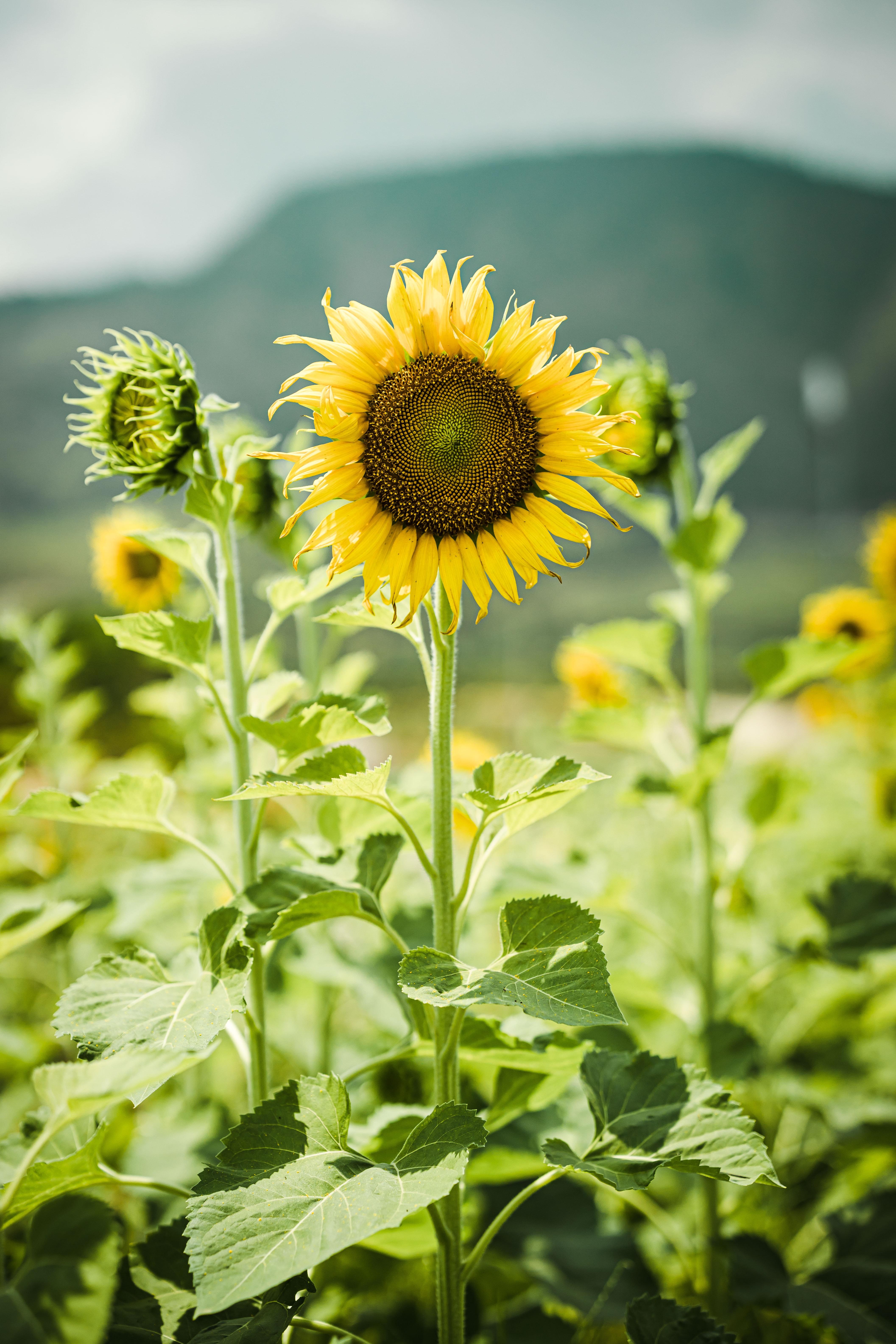 103033 Заставки и Обои Подсолнухи на телефон. Скачать Цветы, Растения, Стебли, Подсолнухи картинки бесплатно