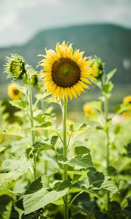 103033 download wallpaper Flowers, Plants, Stems, Sunflowers screensavers and pictures for free