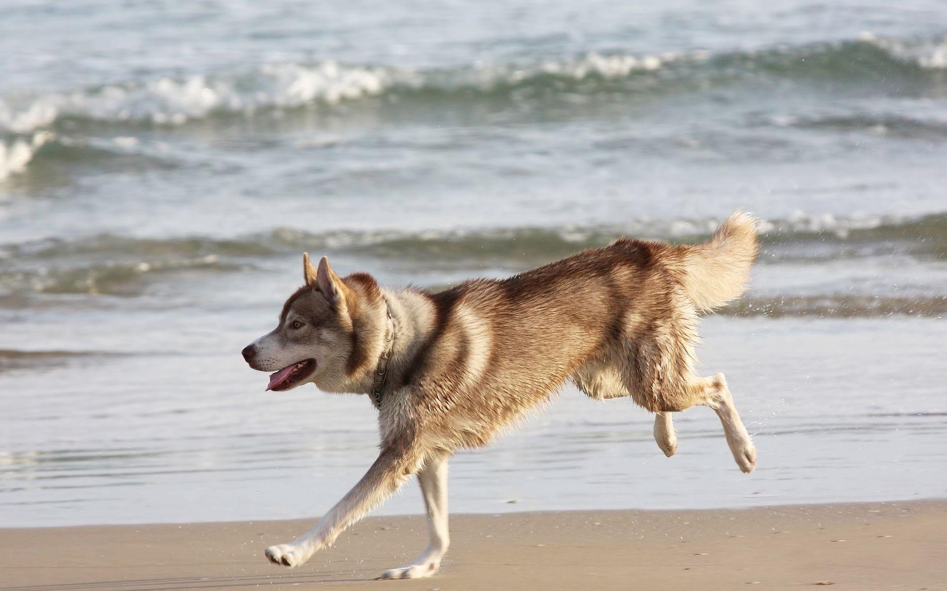 57379 download wallpaper Animals, Husky, Haska, Dog, Sea, Shore, Bank, Run Away, Run screensavers and pictures for free