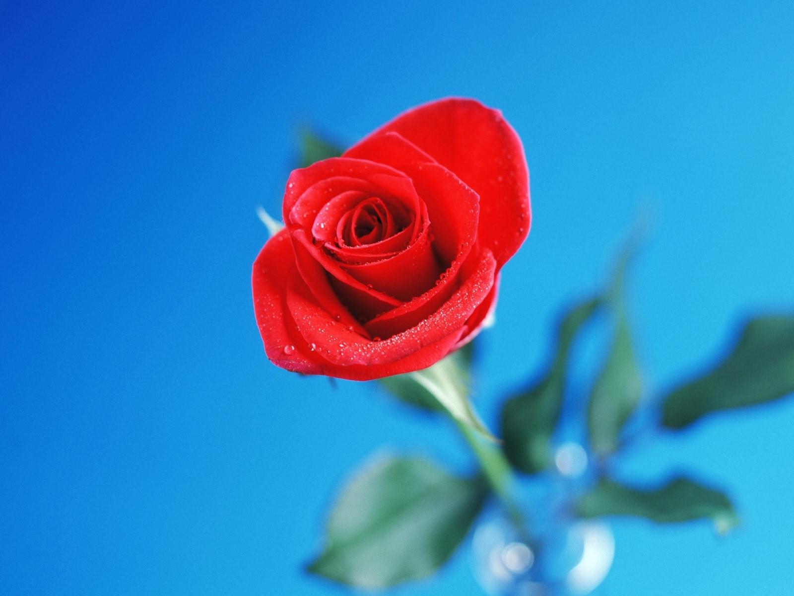 3275 скачать обои Растения, Цветы, Розы - заставки и картинки бесплатно
