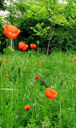 97613 скачать обои Цветы, Маки, Зелень, Солнечно, Трава, Лето, Деревья - заставки и картинки бесплатно