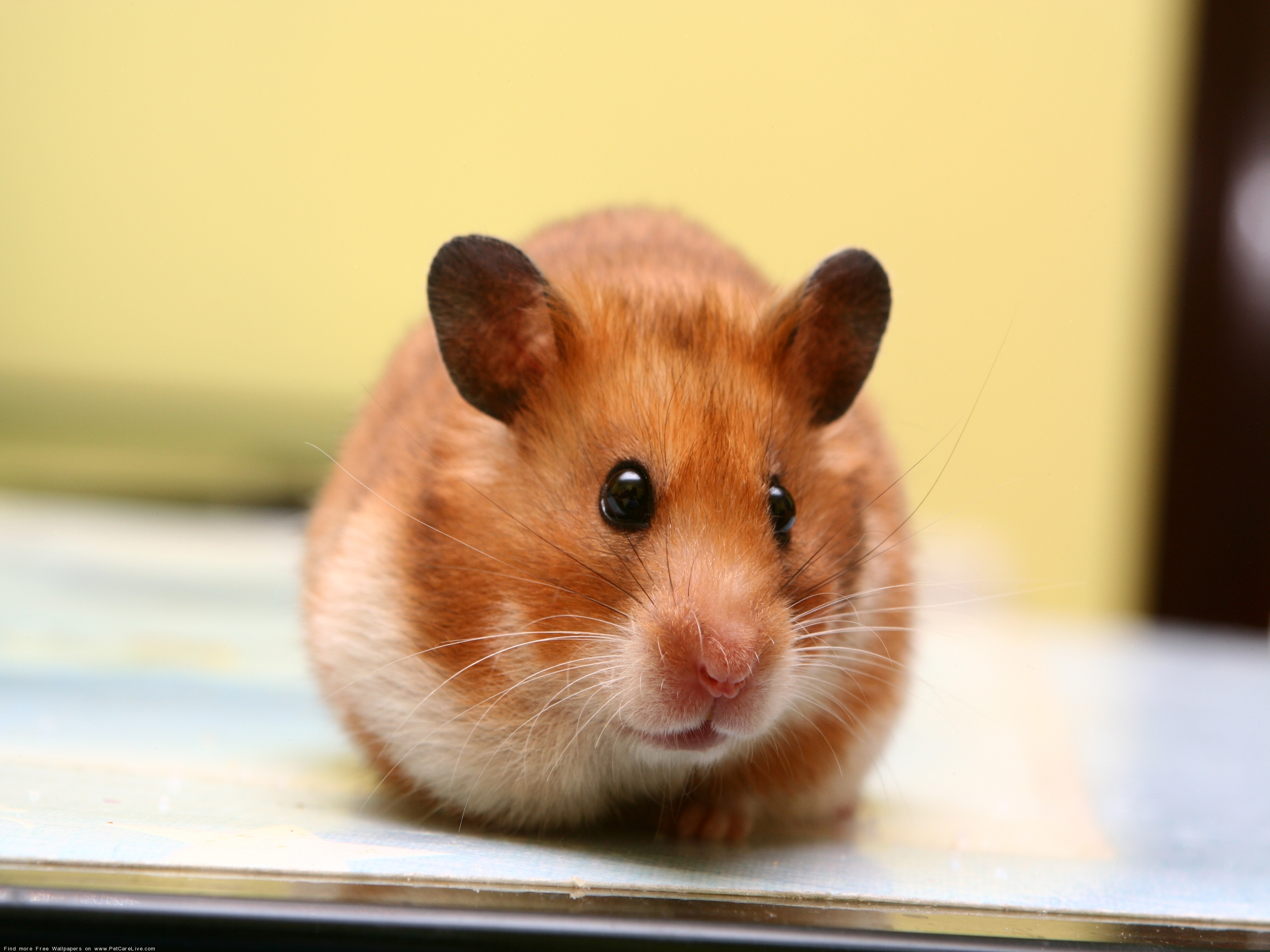 96598 download wallpaper Animals, Hamster, Eared, Muzzle, Kid, Tot, Rodent screensavers and pictures for free