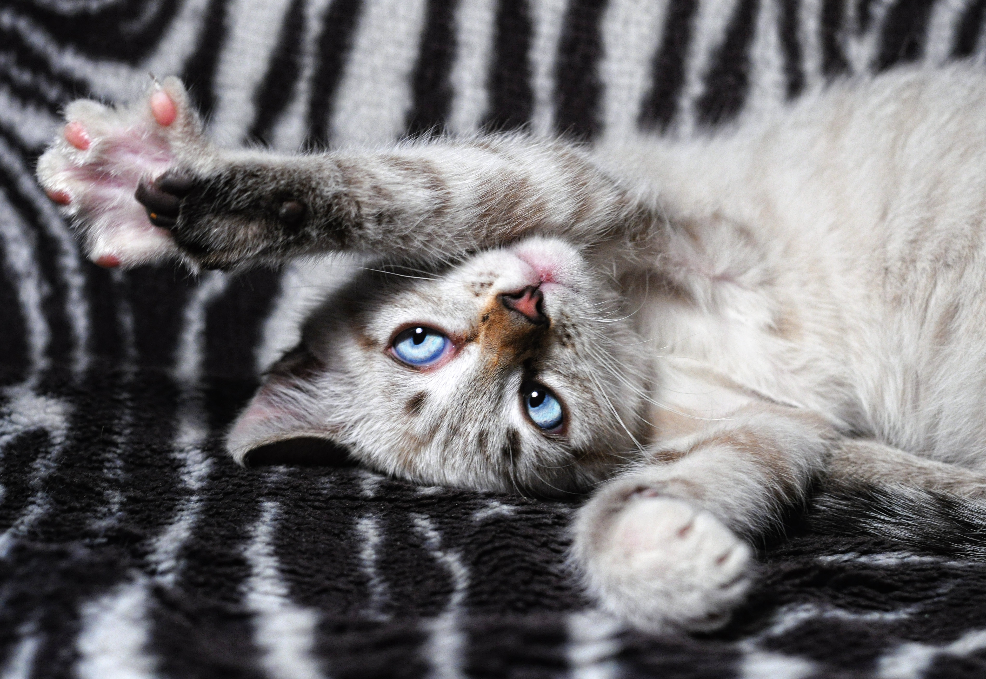 150191 download wallpaper Animals, Cat, Lies, Playful, Paws screensavers and pictures for free