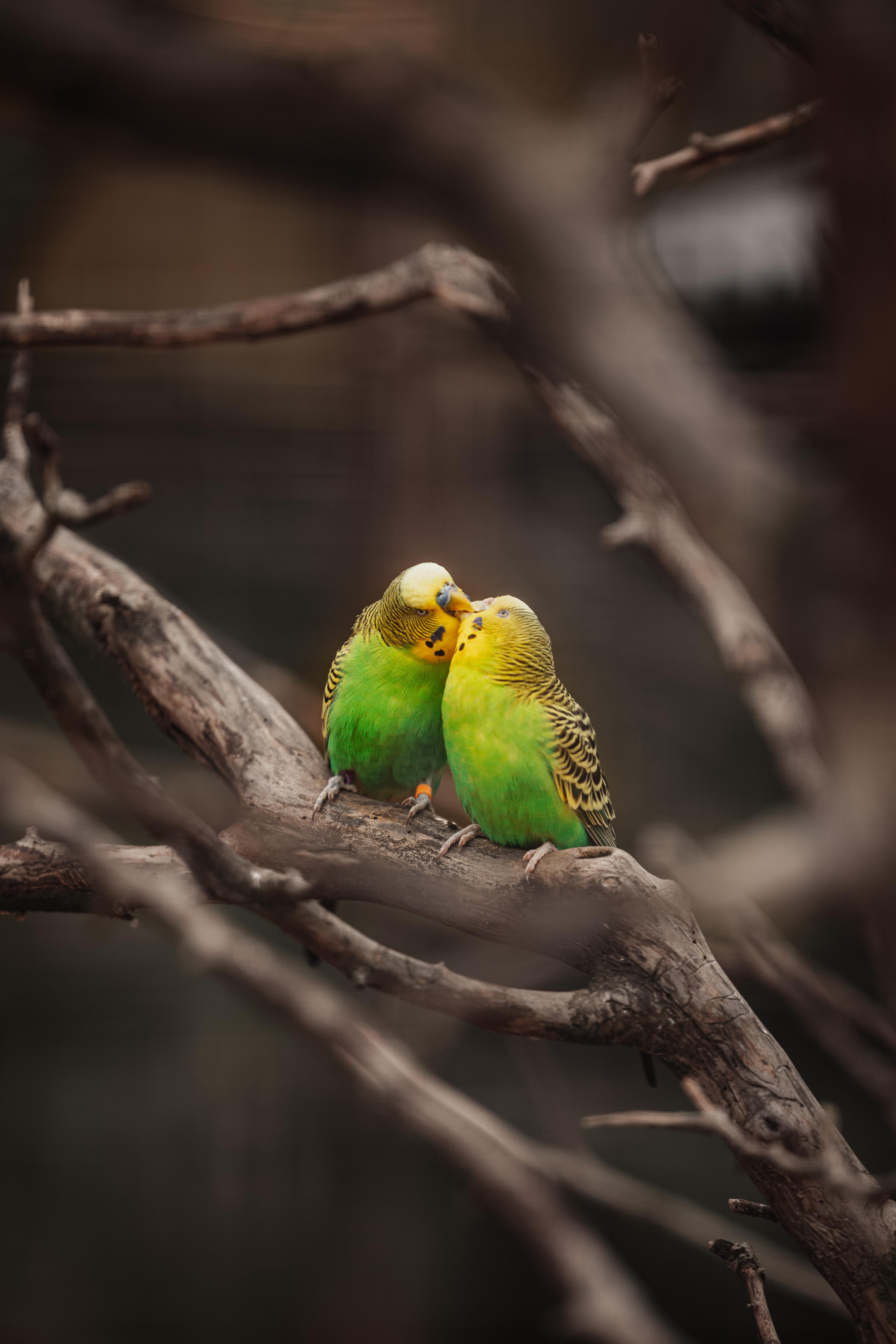 113471 Заставки и Обои Попугаи на телефон. Скачать Поцелуй, Попугаи, Животные, Птицы, Ветки, Волнистые Попугаи картинки бесплатно
