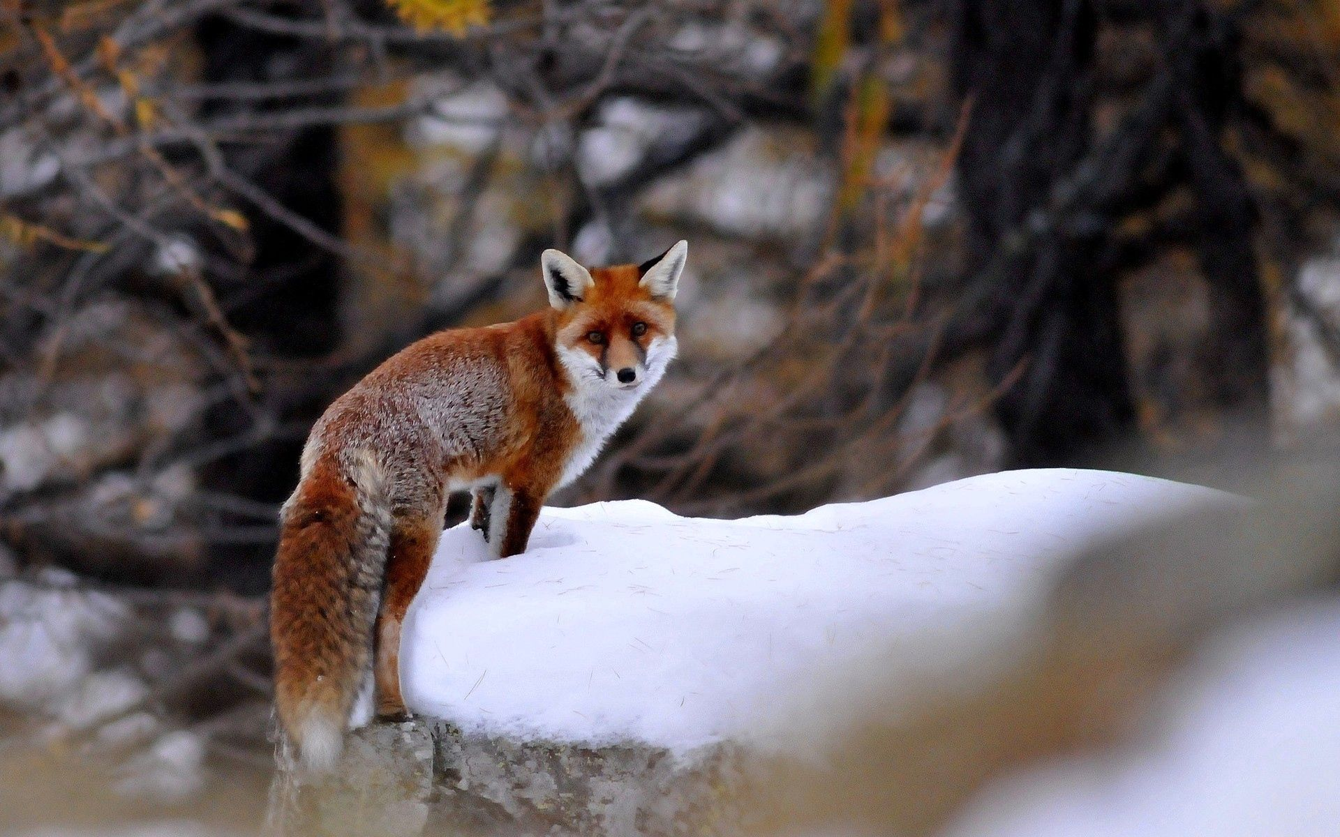 65381 download wallpaper Animals, Fox, Snow, Stroll, Animal screensavers and pictures for free